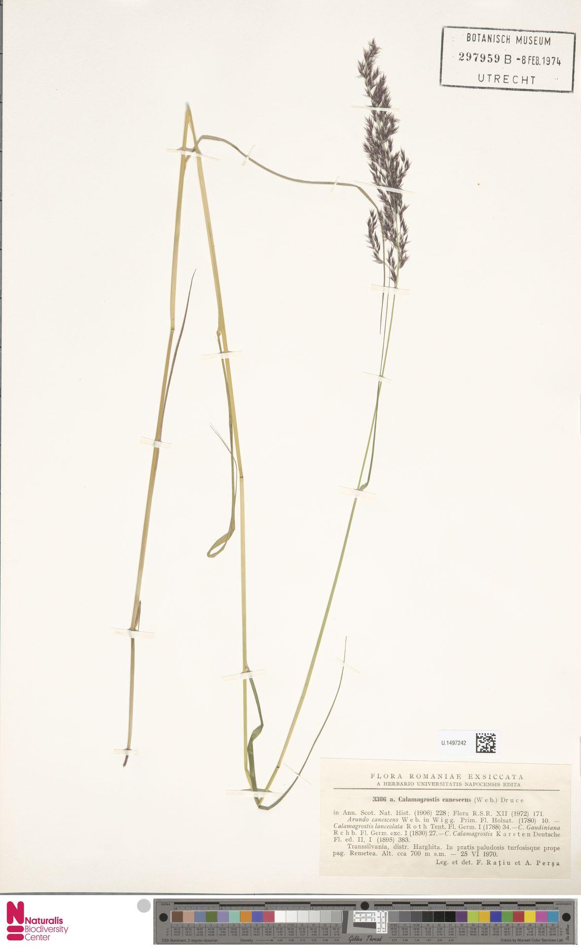 U.1497242 | Calamagrostis canescens (Weber) Roth