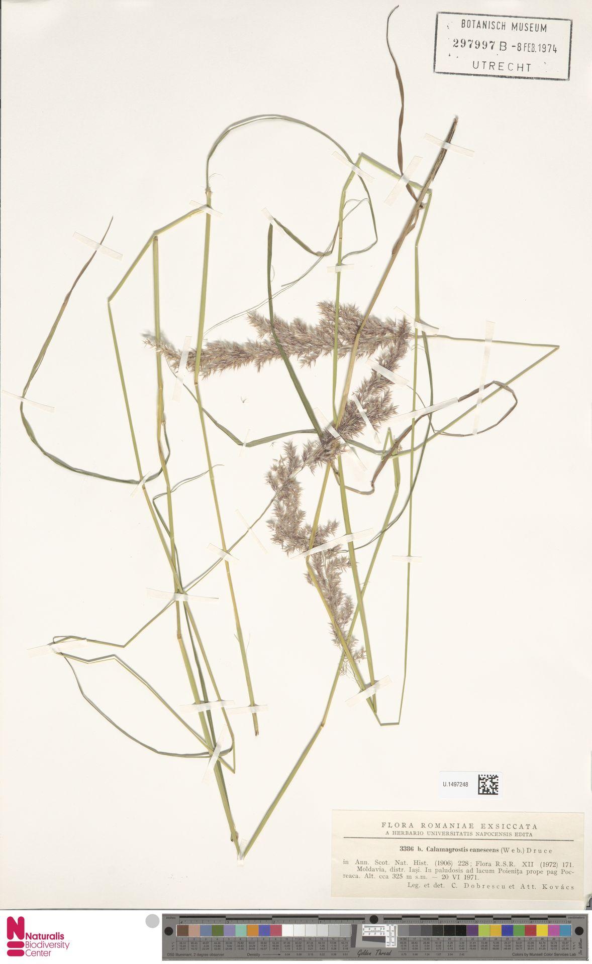 U.1497248 | Calamagrostis canescens (Weber) Roth
