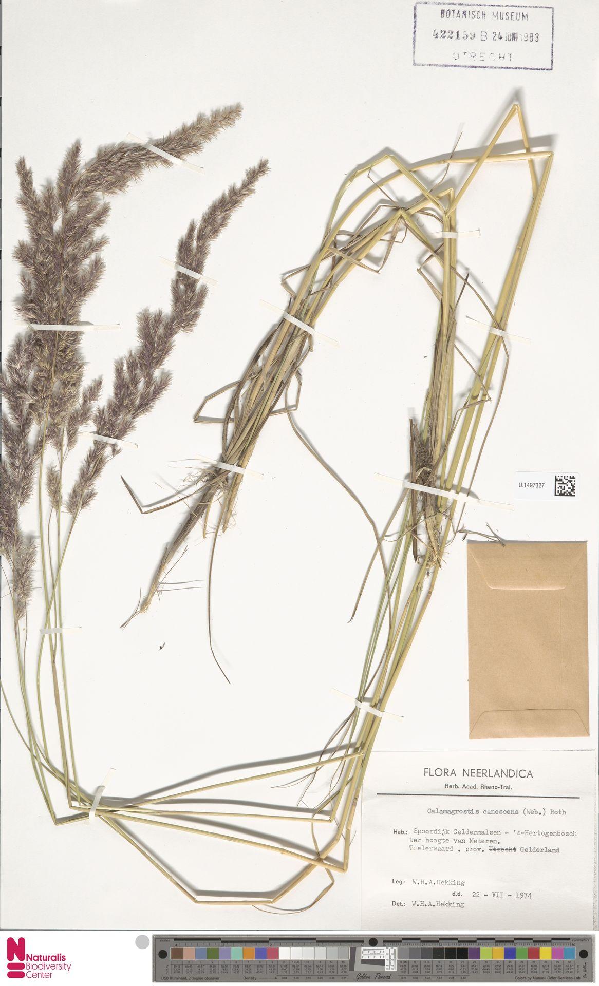 U.1497327 | Calamagrostis canescens (Weber) Roth
