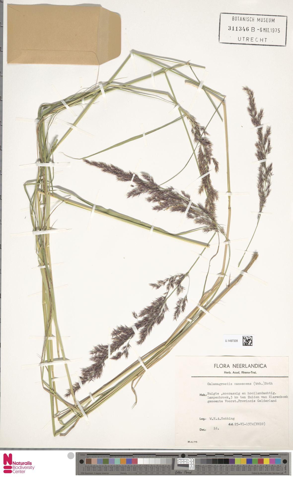 U.1497328 | Calamagrostis canescens (Weber) Roth