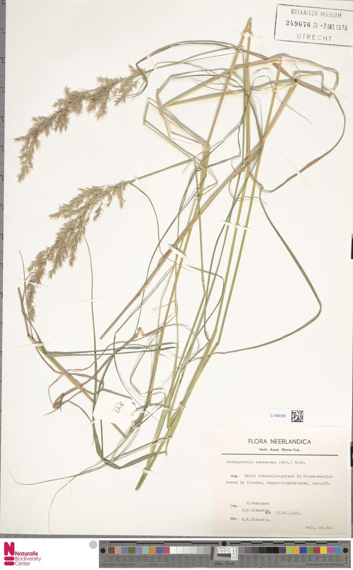 U.1497329 | Calamagrostis canescens (Weber) Roth