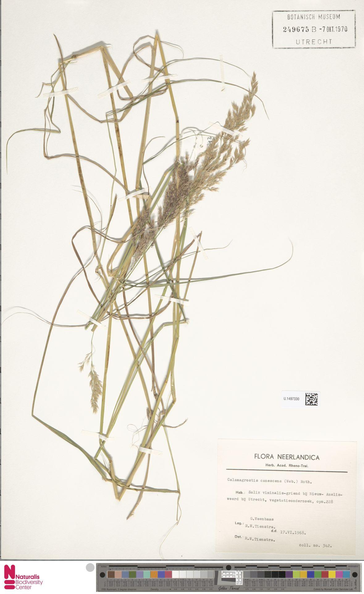 U.1497330 | Calamagrostis canescens (Weber) Roth