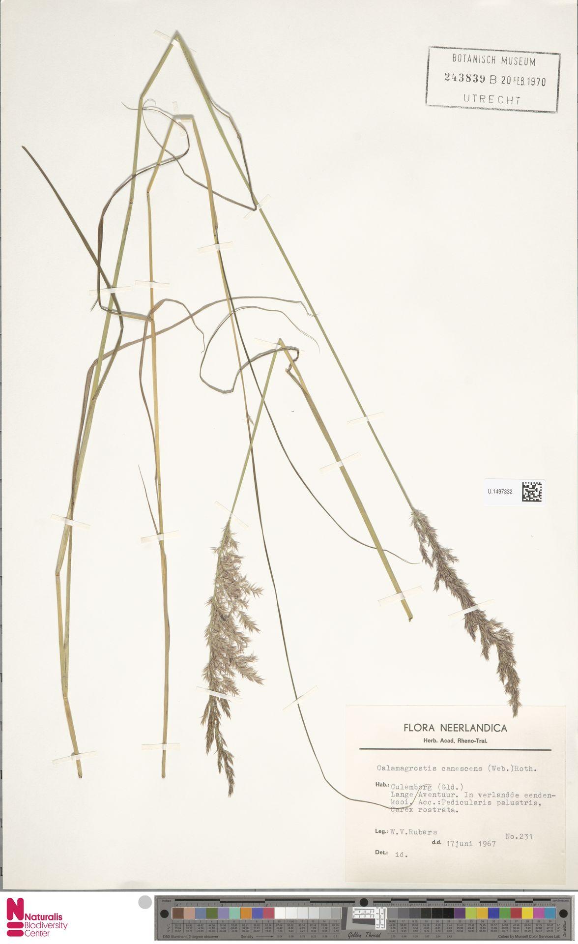 U.1497332   Calamagrostis canescens (Weber) Roth