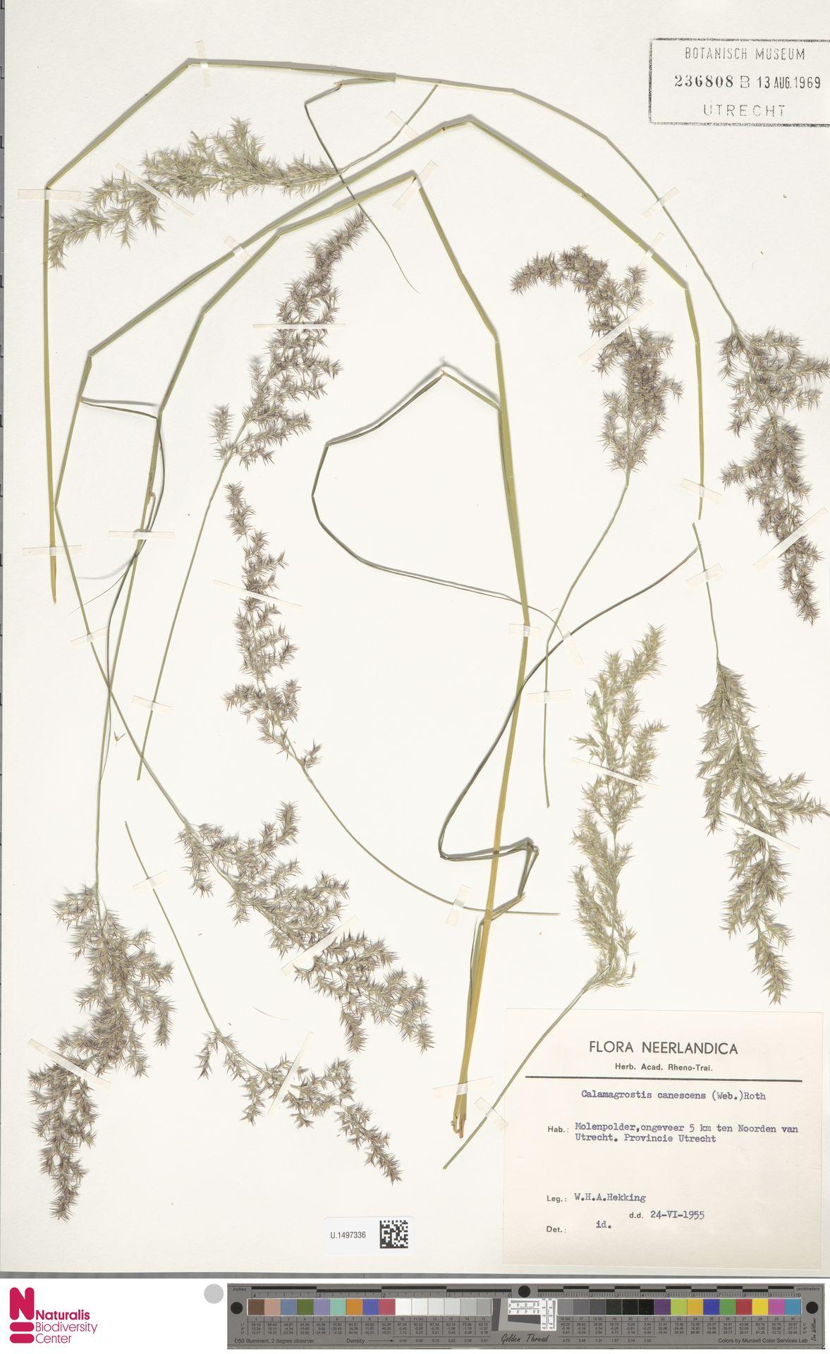 U.1497336 | Calamagrostis canescens (Weber) Roth