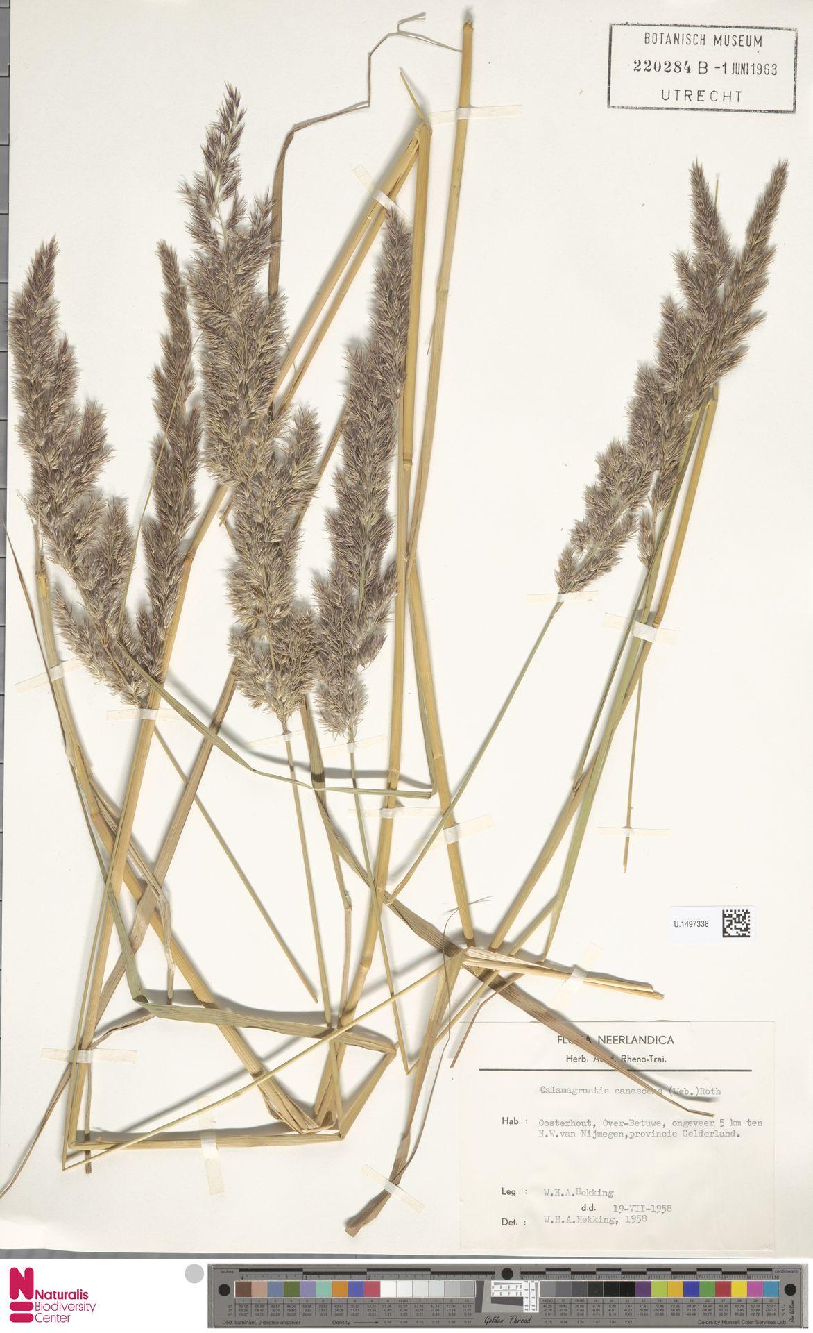 U.1497338 | Calamagrostis canescens (Weber) Roth