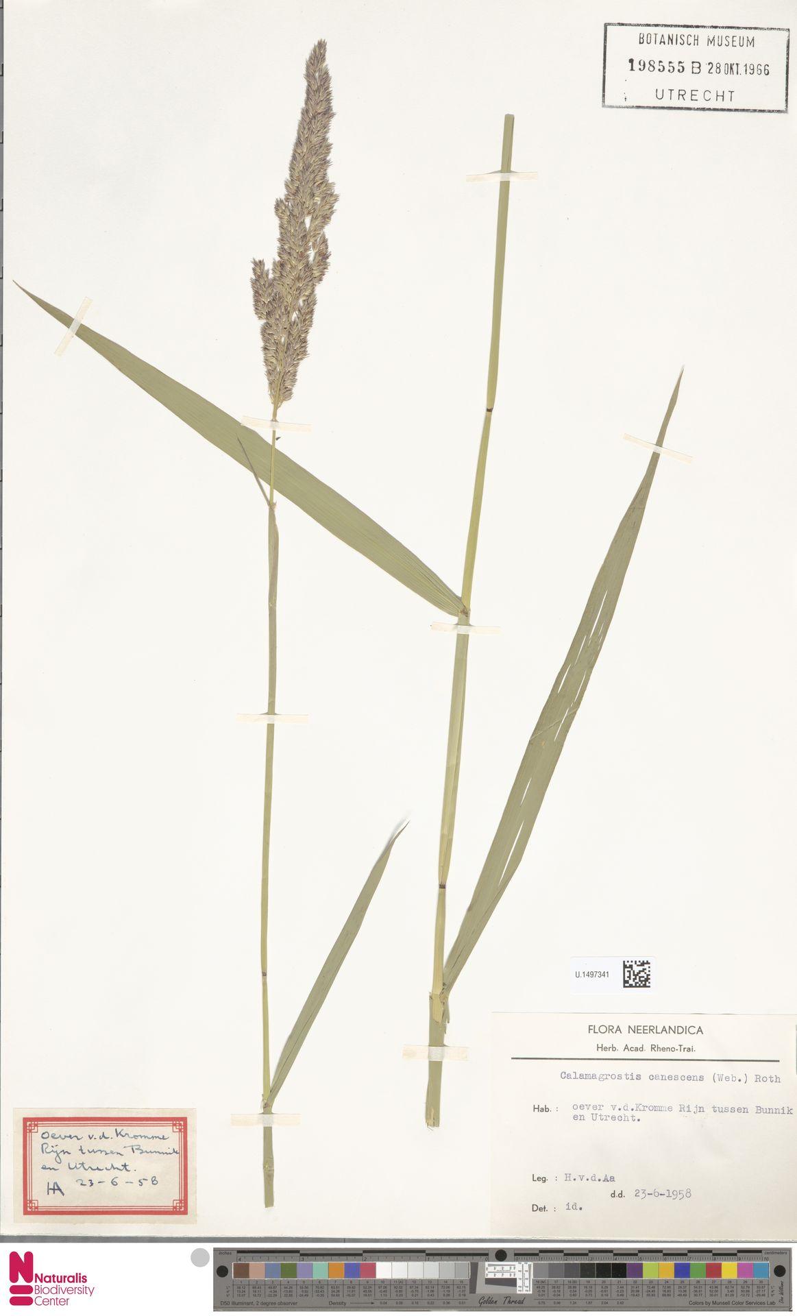 U.1497341 | Calamagrostis canescens (Weber) Roth