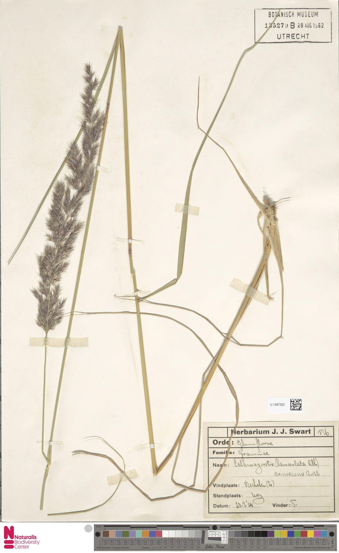 U.1497352 | Calamagrostis canescens (Weber) Roth