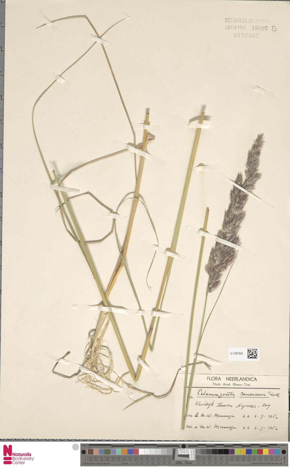 U.1497353 | Calamagrostis canescens (Weber) Roth