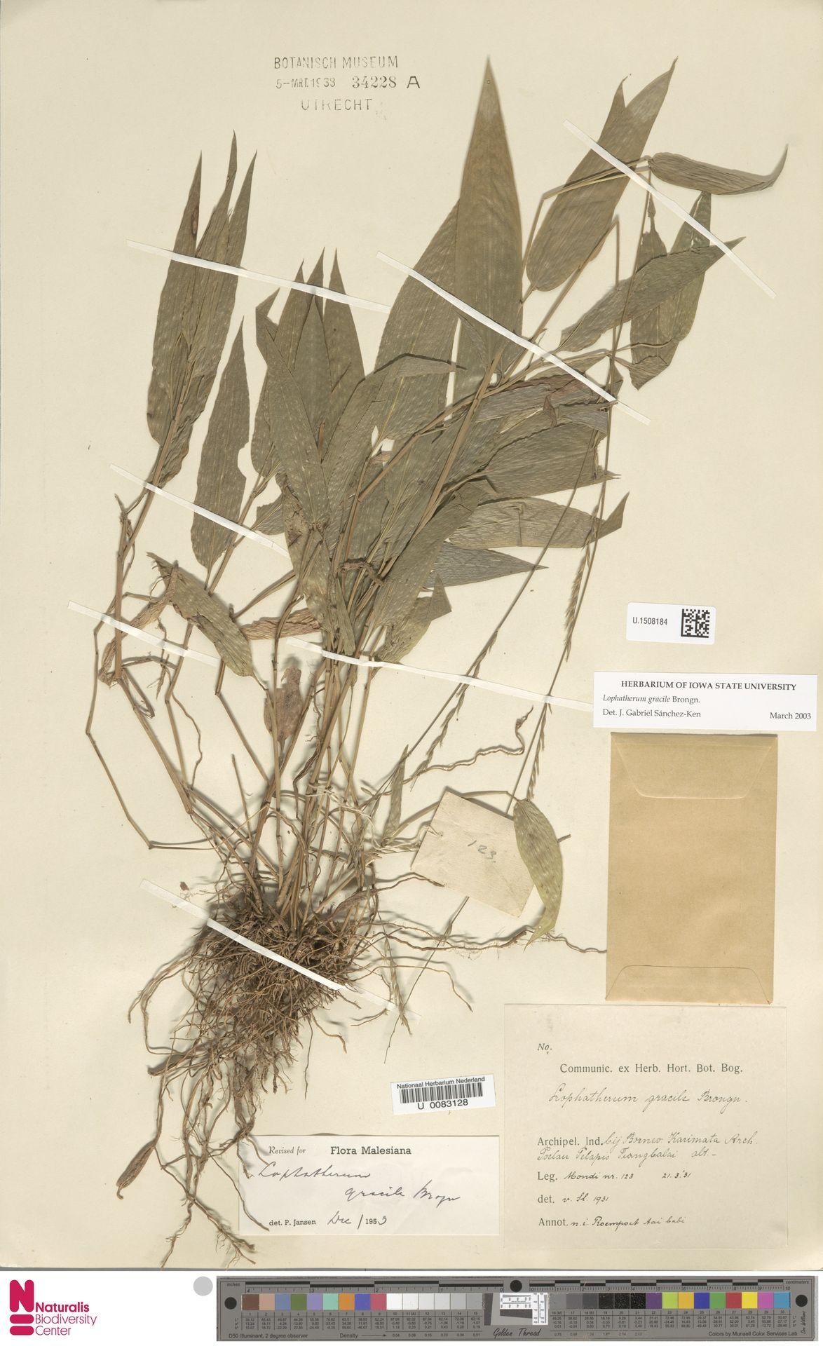 U.1508184 | Lophatherum gracile Brongn.