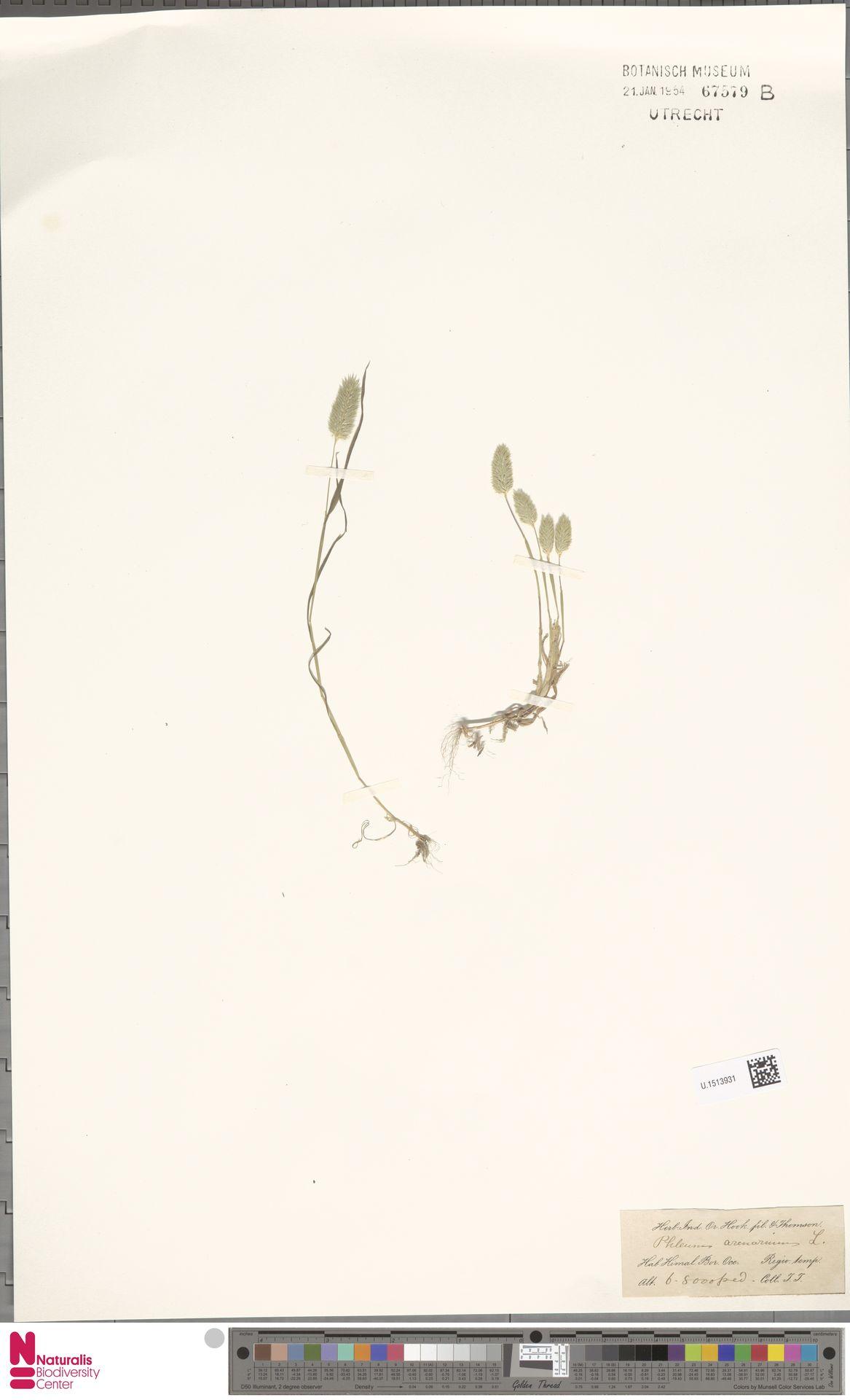 U.1513931 | Phleum arenarium L.