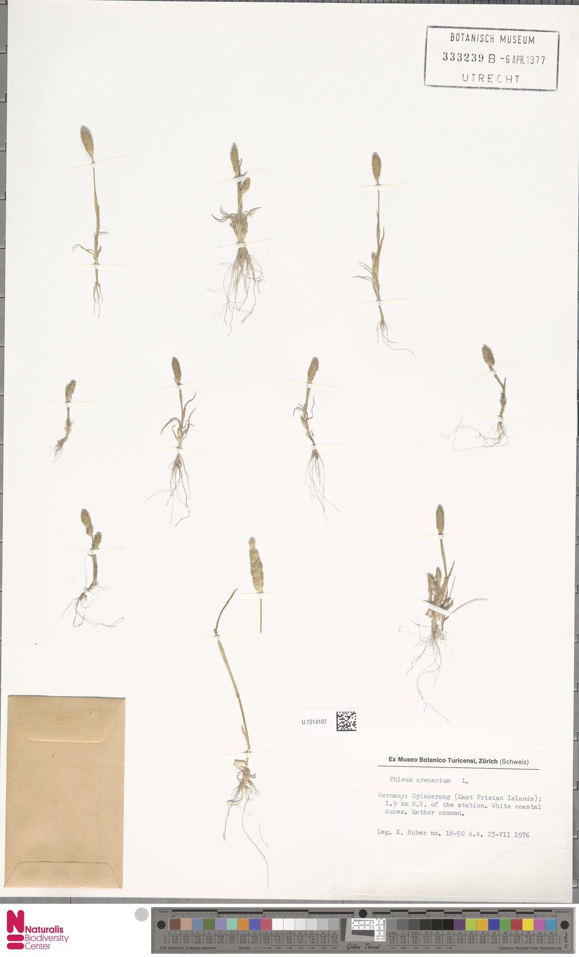 U.1514107 | Phleum arenarium L.