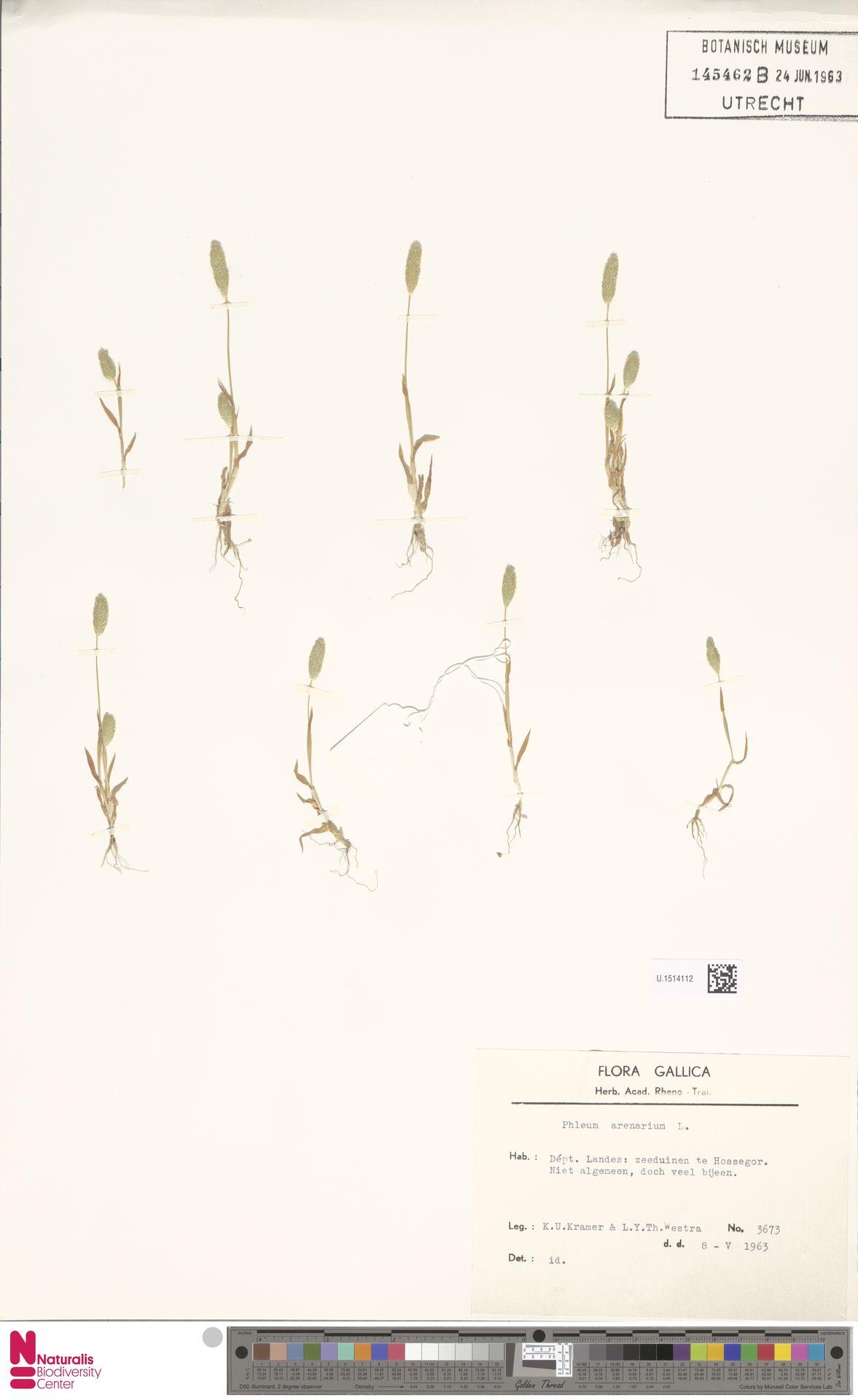 U.1514112 | Phleum arenarium L.