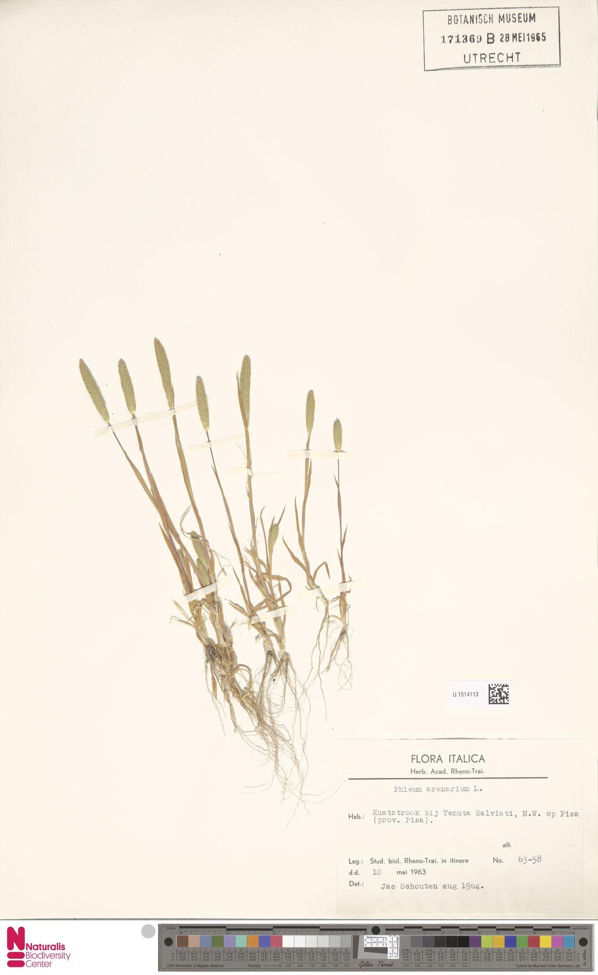 U.1514113 | Phleum arenarium L.