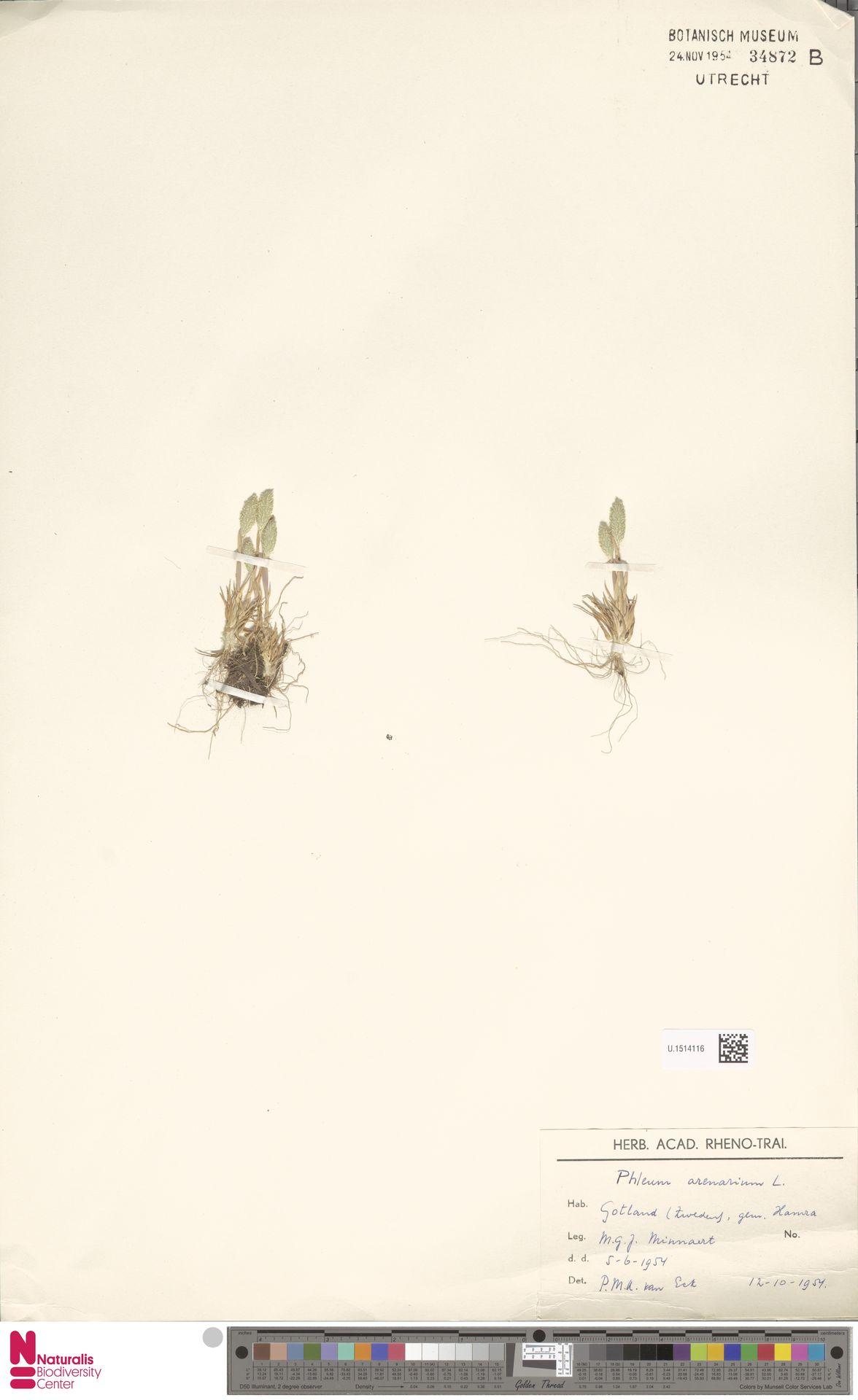 U.1514116   Phleum arenarium L.
