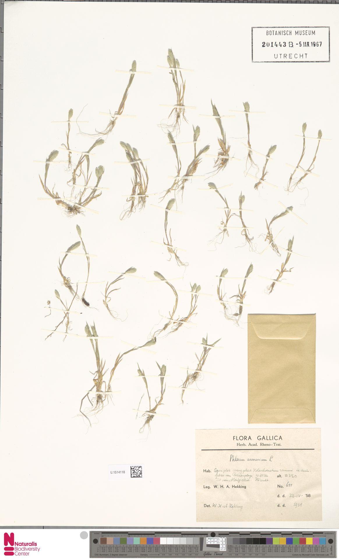 U.1514118 | Phleum arenarium L.