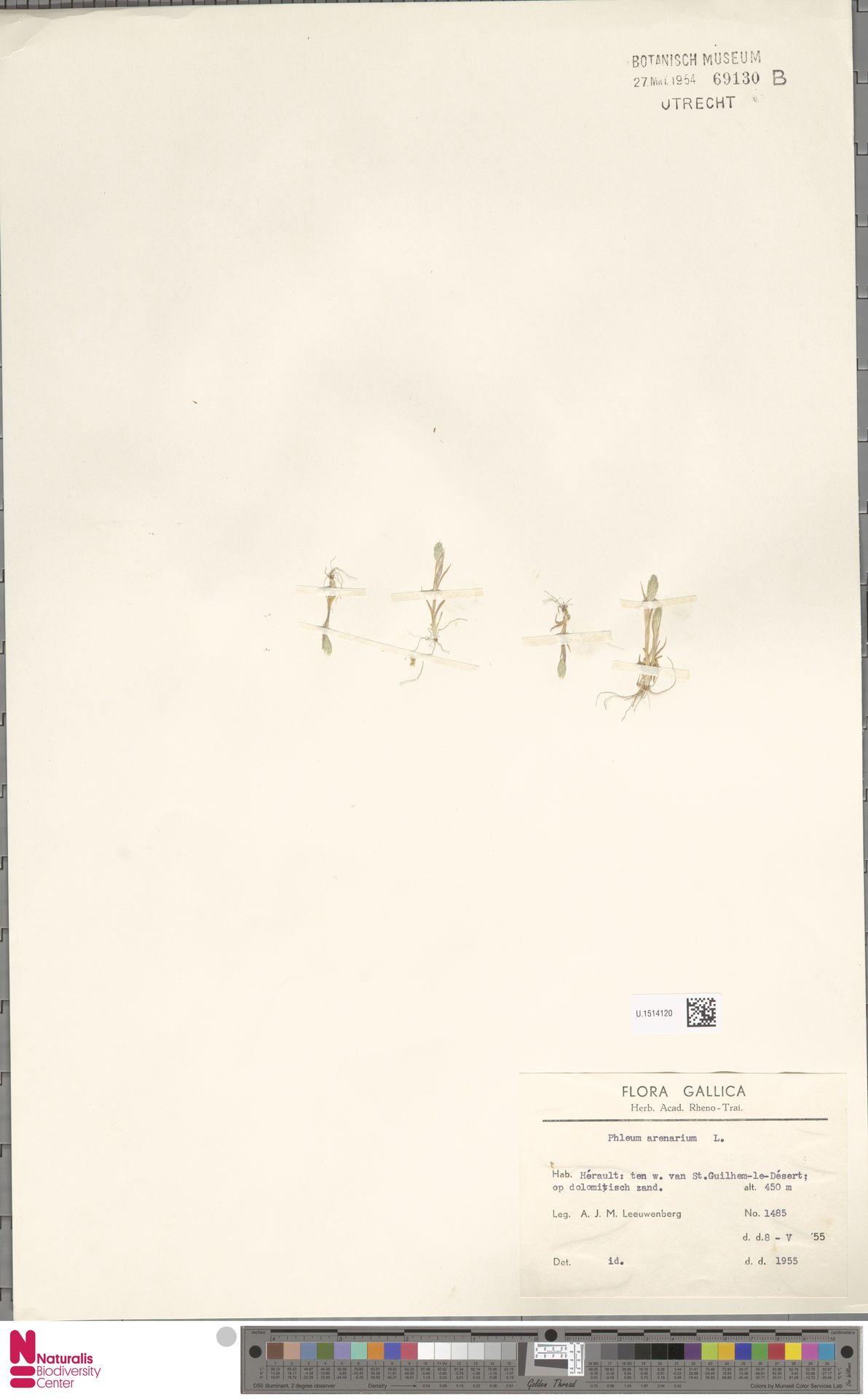 U.1514120 | Phleum arenarium L.