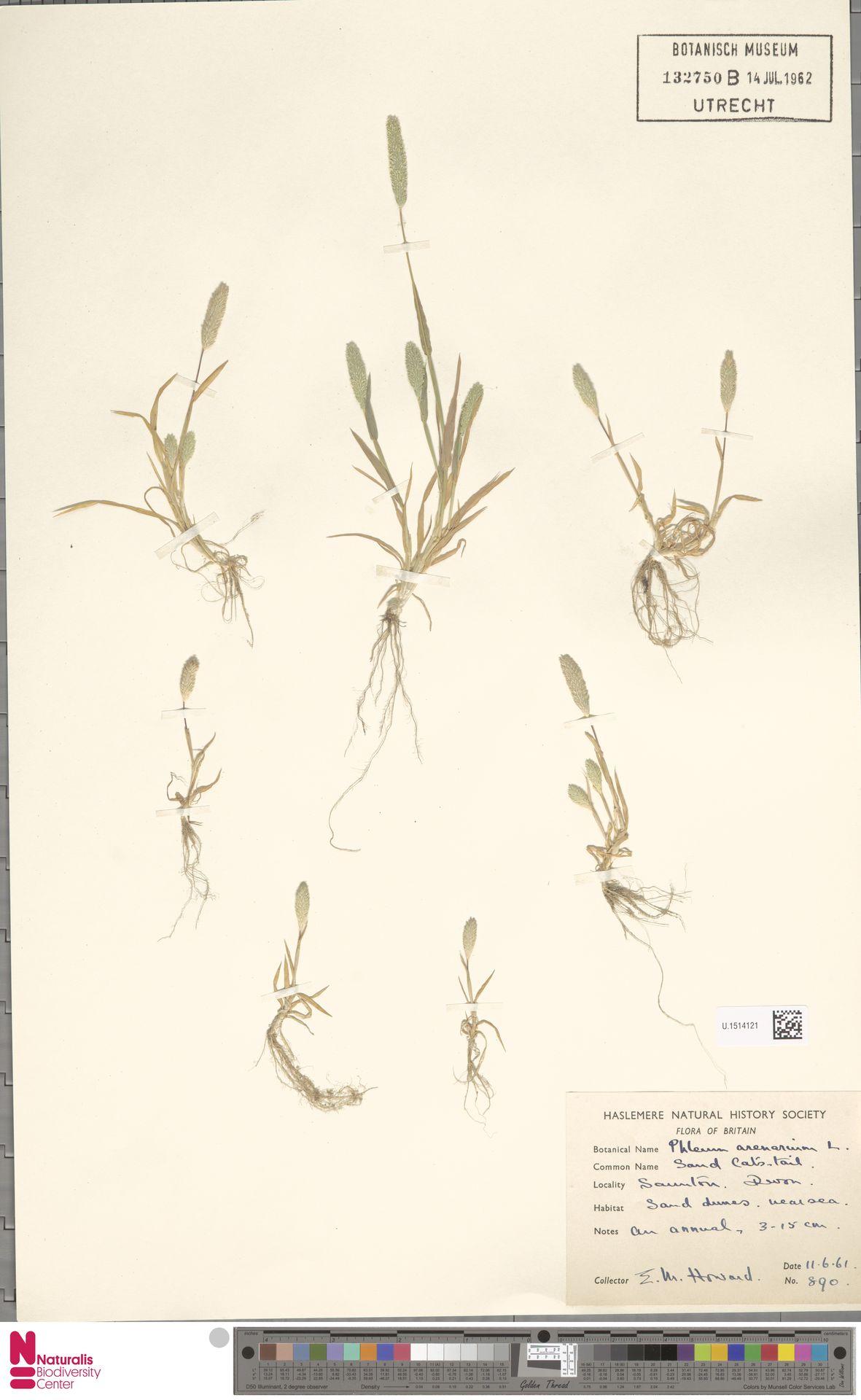 U.1514121 | Phleum arenarium L.