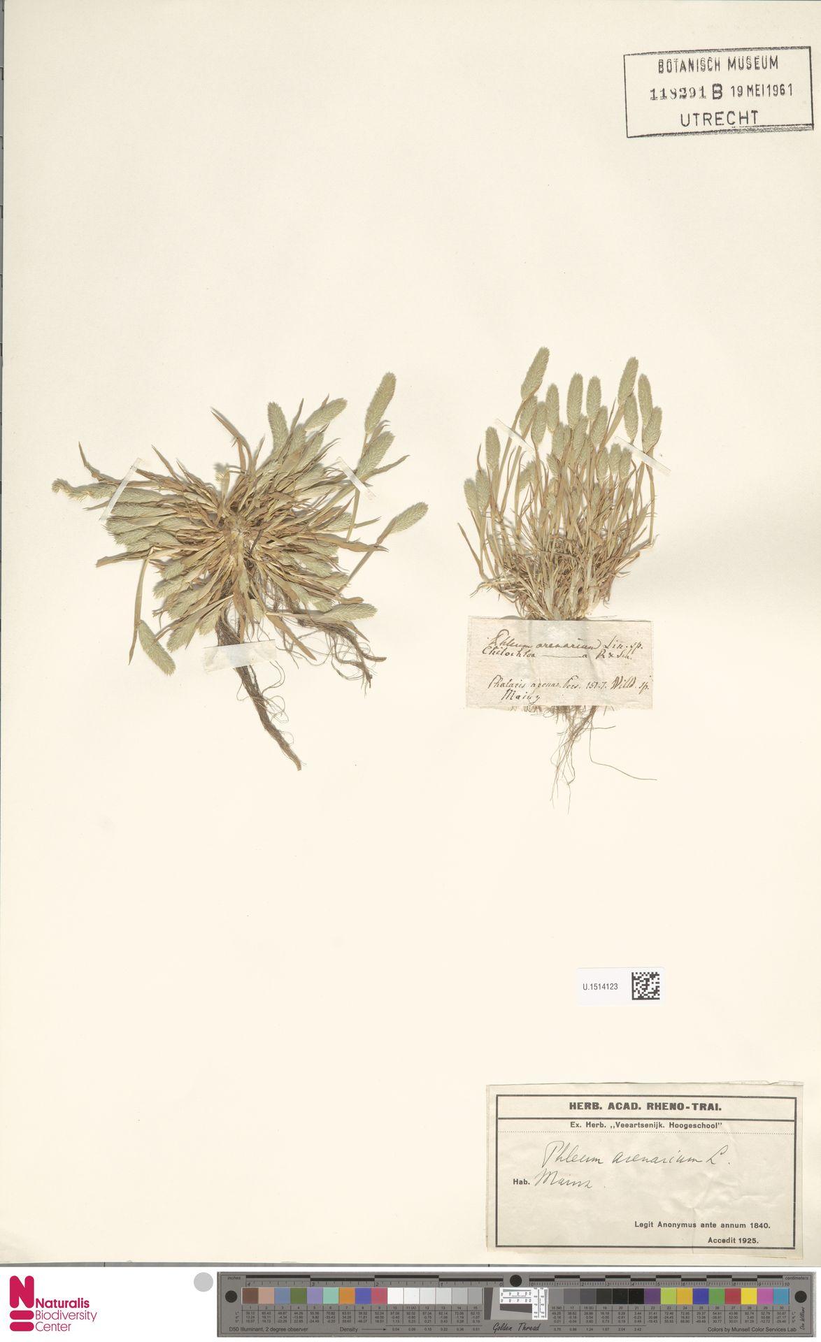 U.1514123 | Phleum arenarium L.