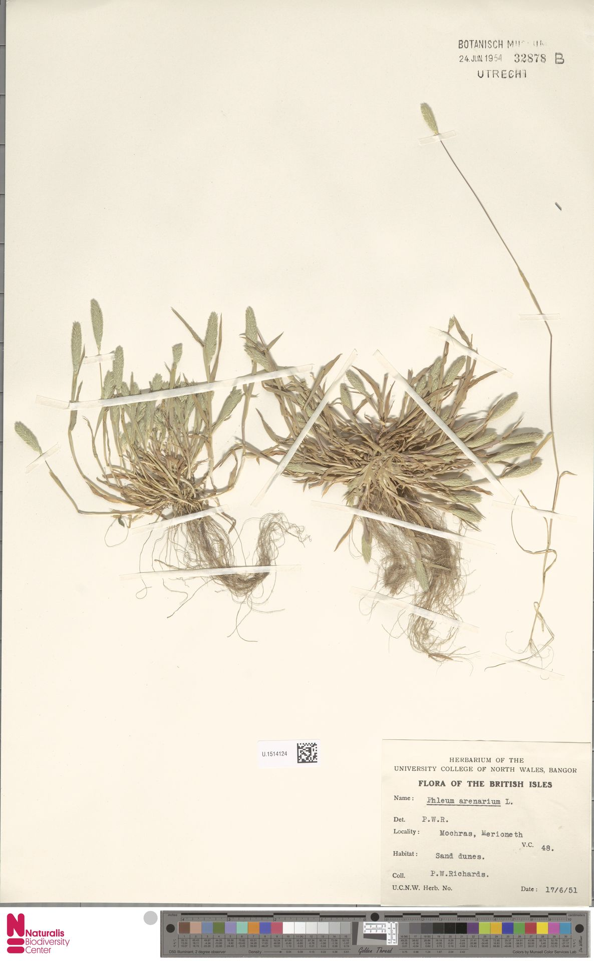 U.1514124 | Phleum arenarium L.