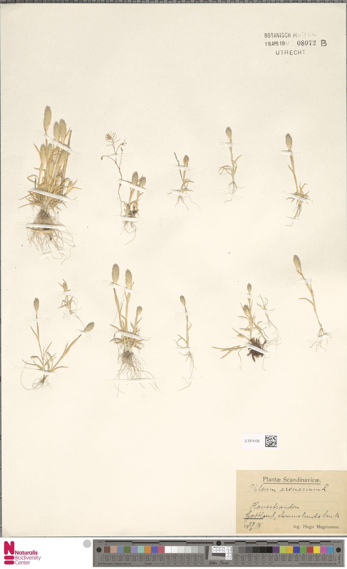U.1514125 | Phleum arenarium L.