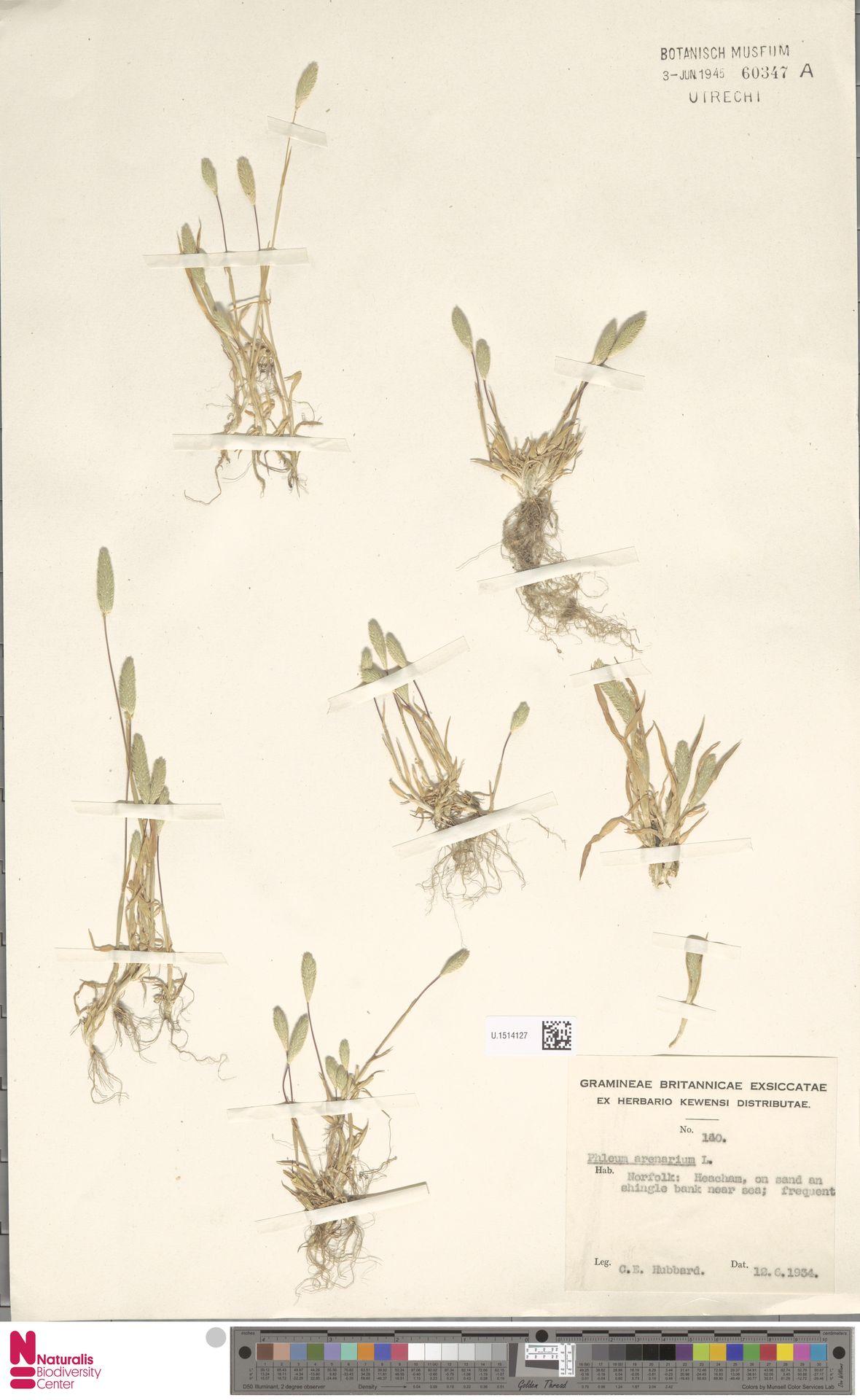 U.1514127 | Phleum arenarium L.