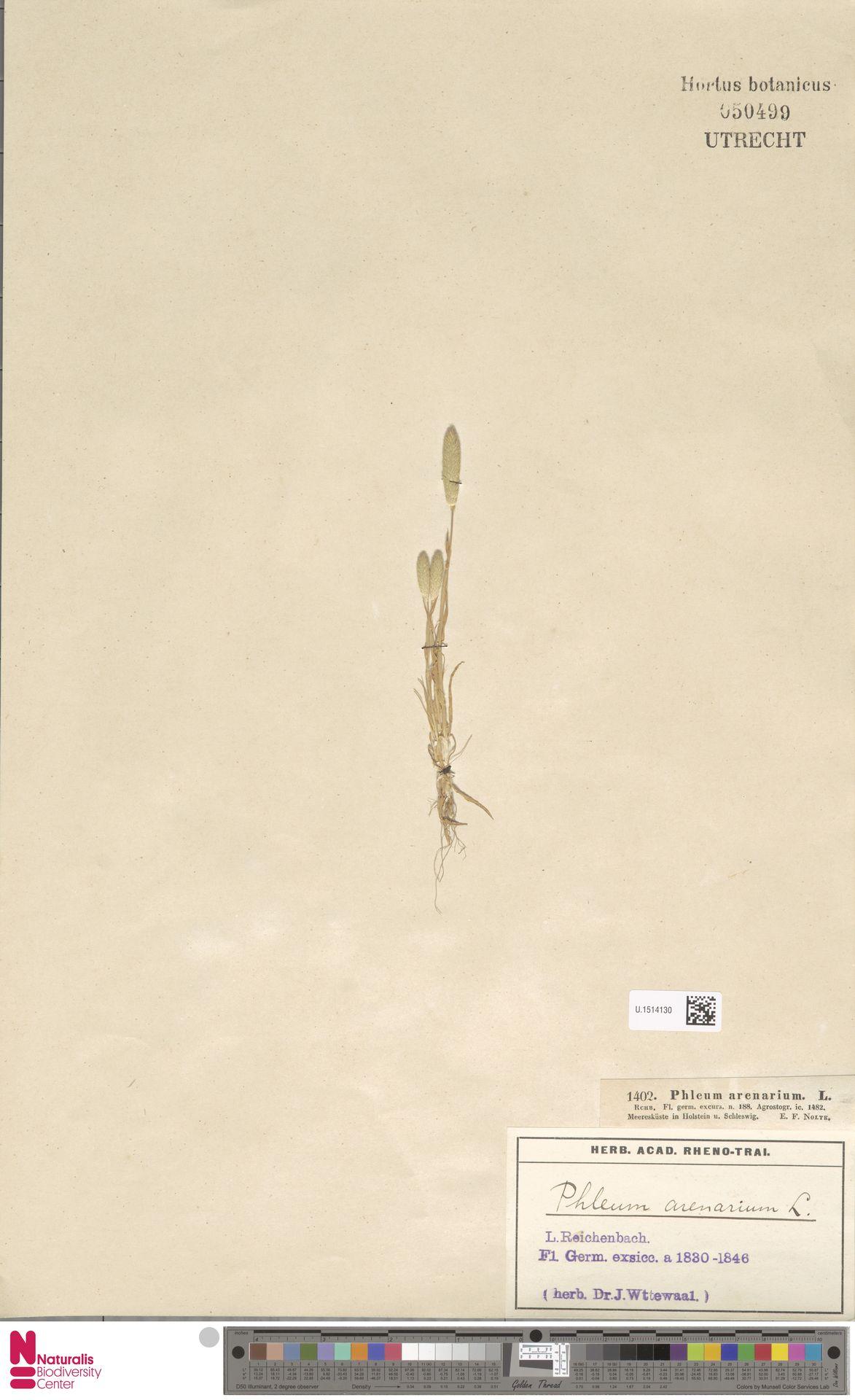 U.1514130 | Phleum arenarium L.