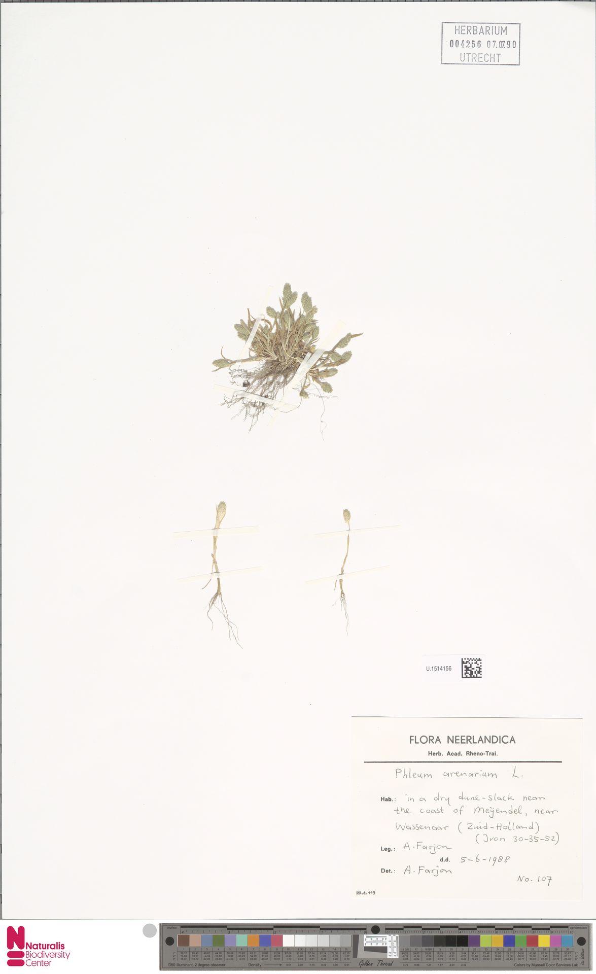 U.1514156 | Phleum arenarium L.