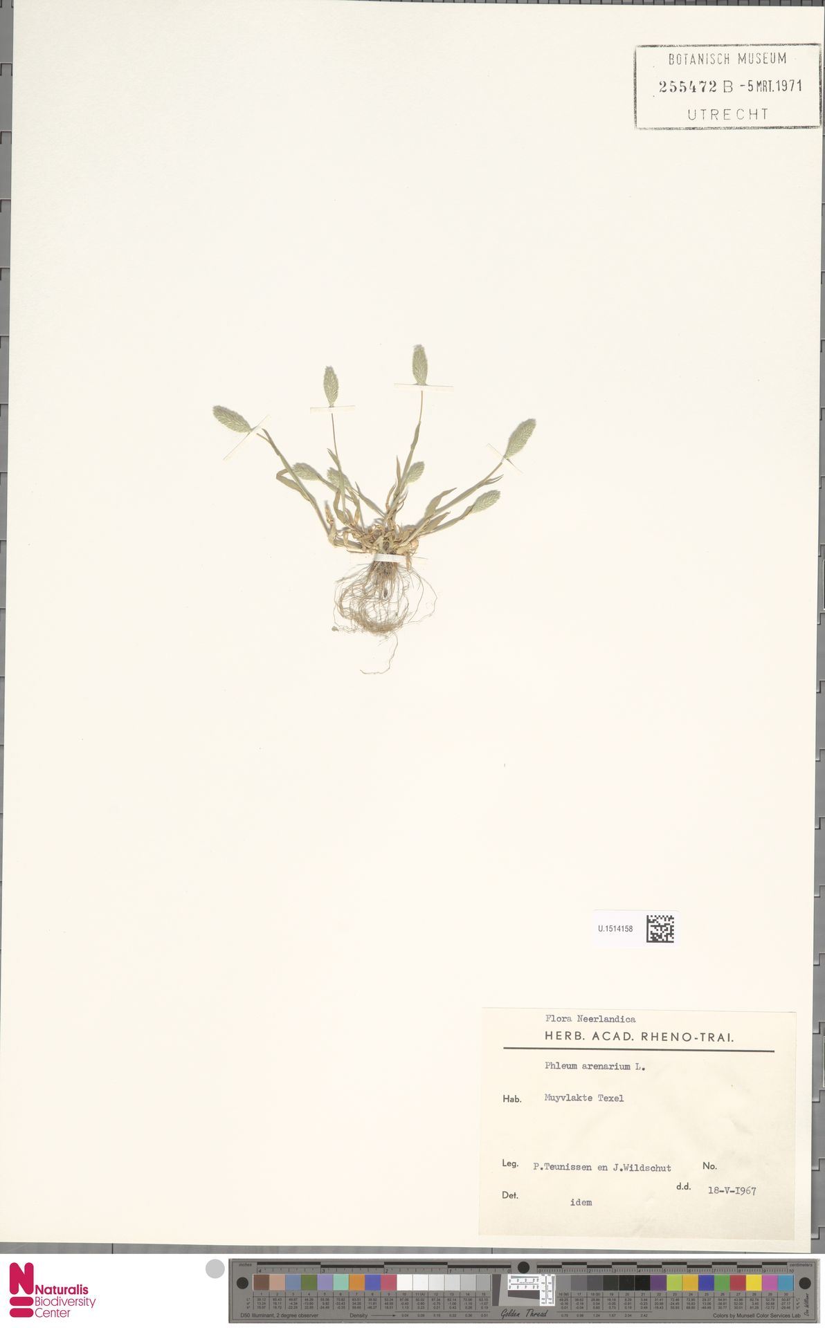 U.1514158 | Phleum arenarium L.