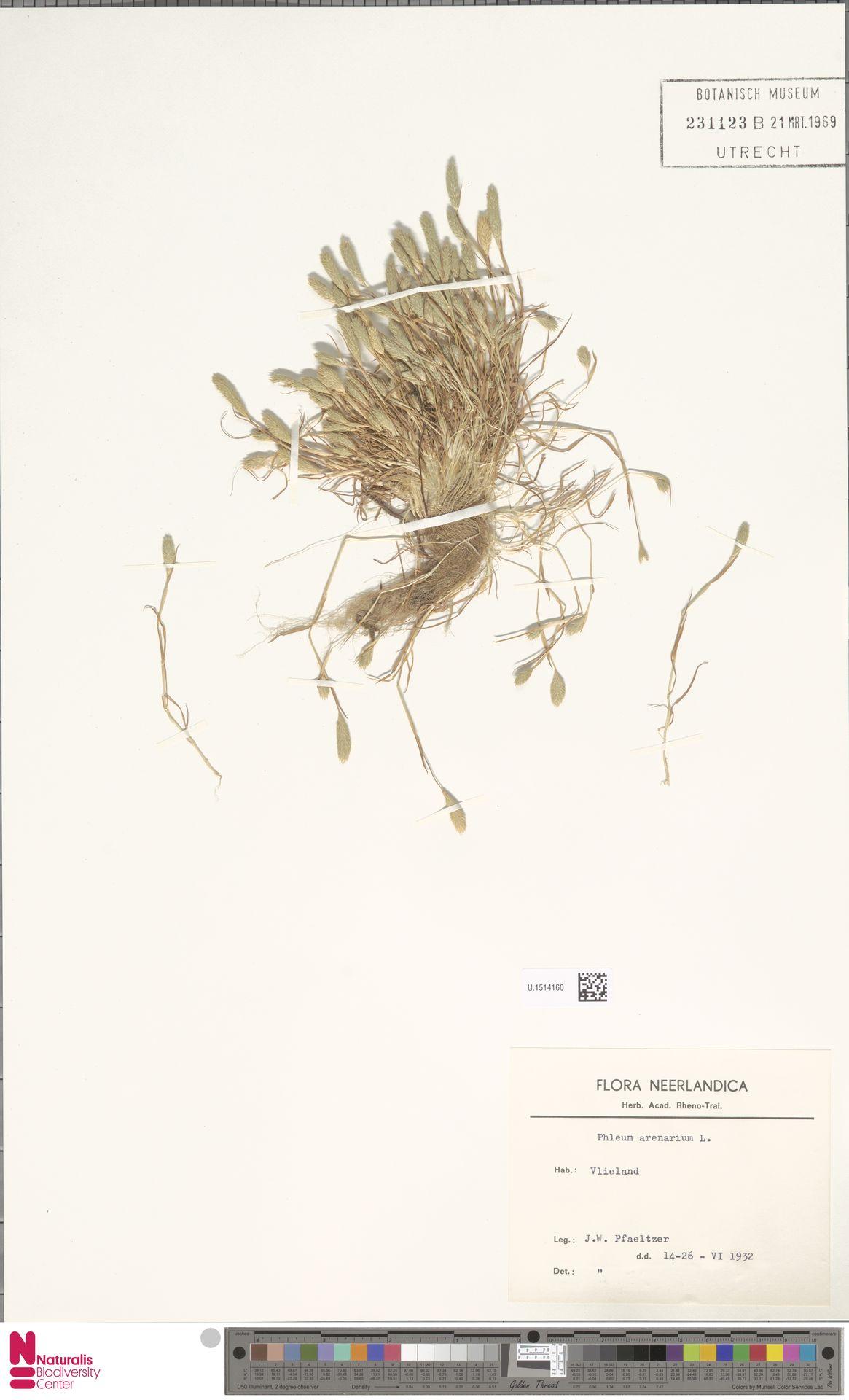 U.1514160 | Phleum arenarium L.
