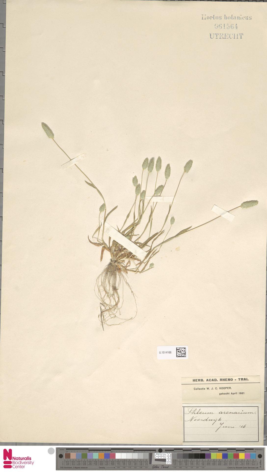 U.1514166 | Phleum arenarium L.