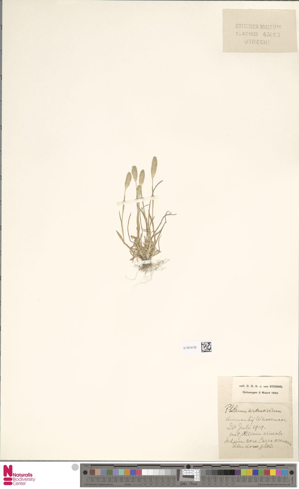 U.1514170 | Phleum arenarium L.