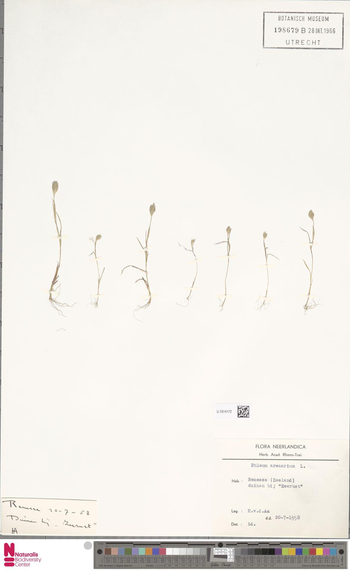 U.1514172 | Phleum arenarium L.