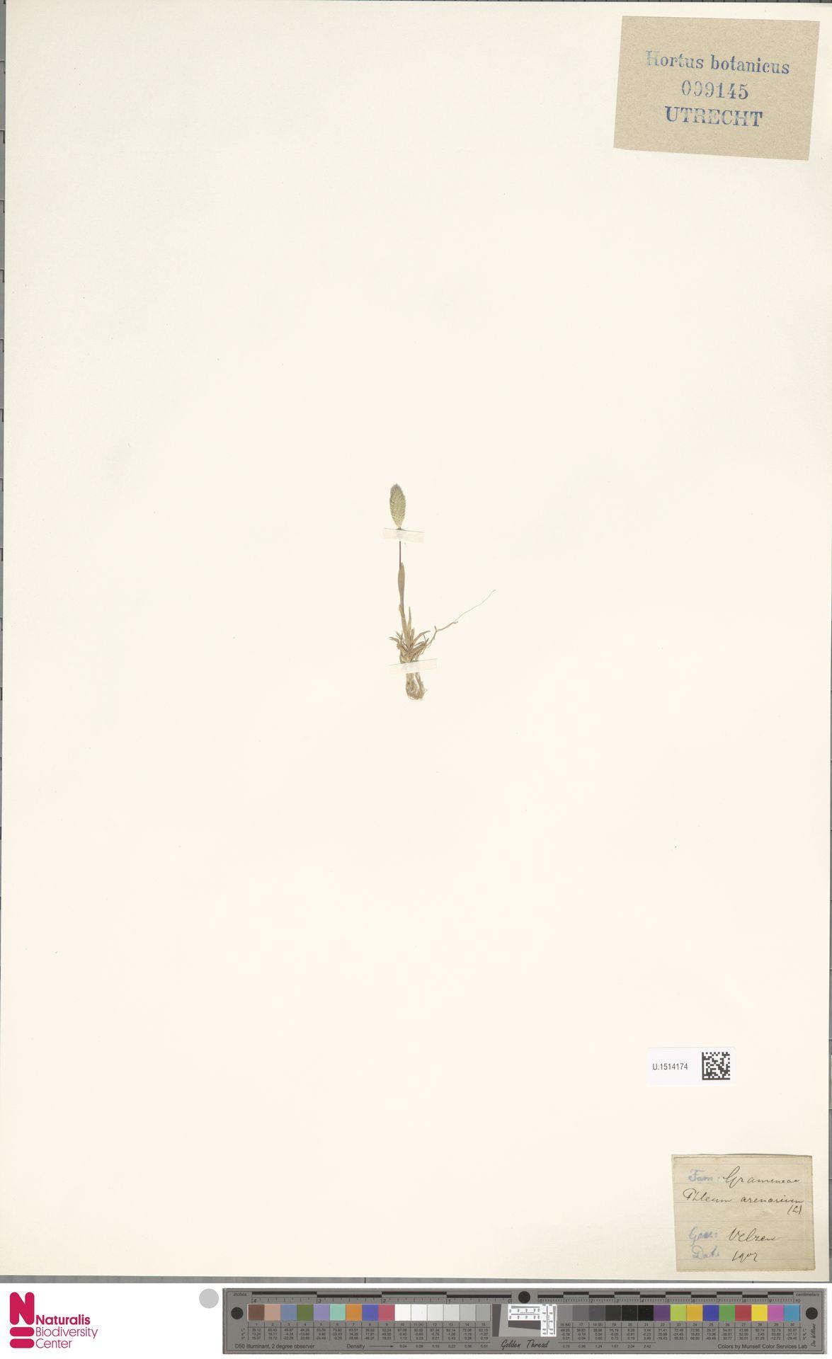 U.1514174 | Phleum arenarium L.