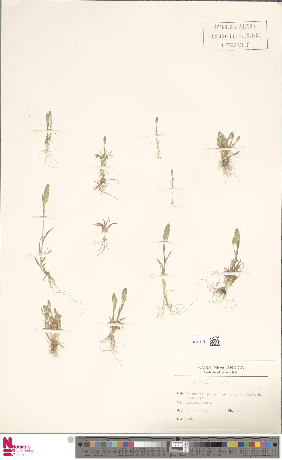 U.1514176 | Phleum arenarium L.
