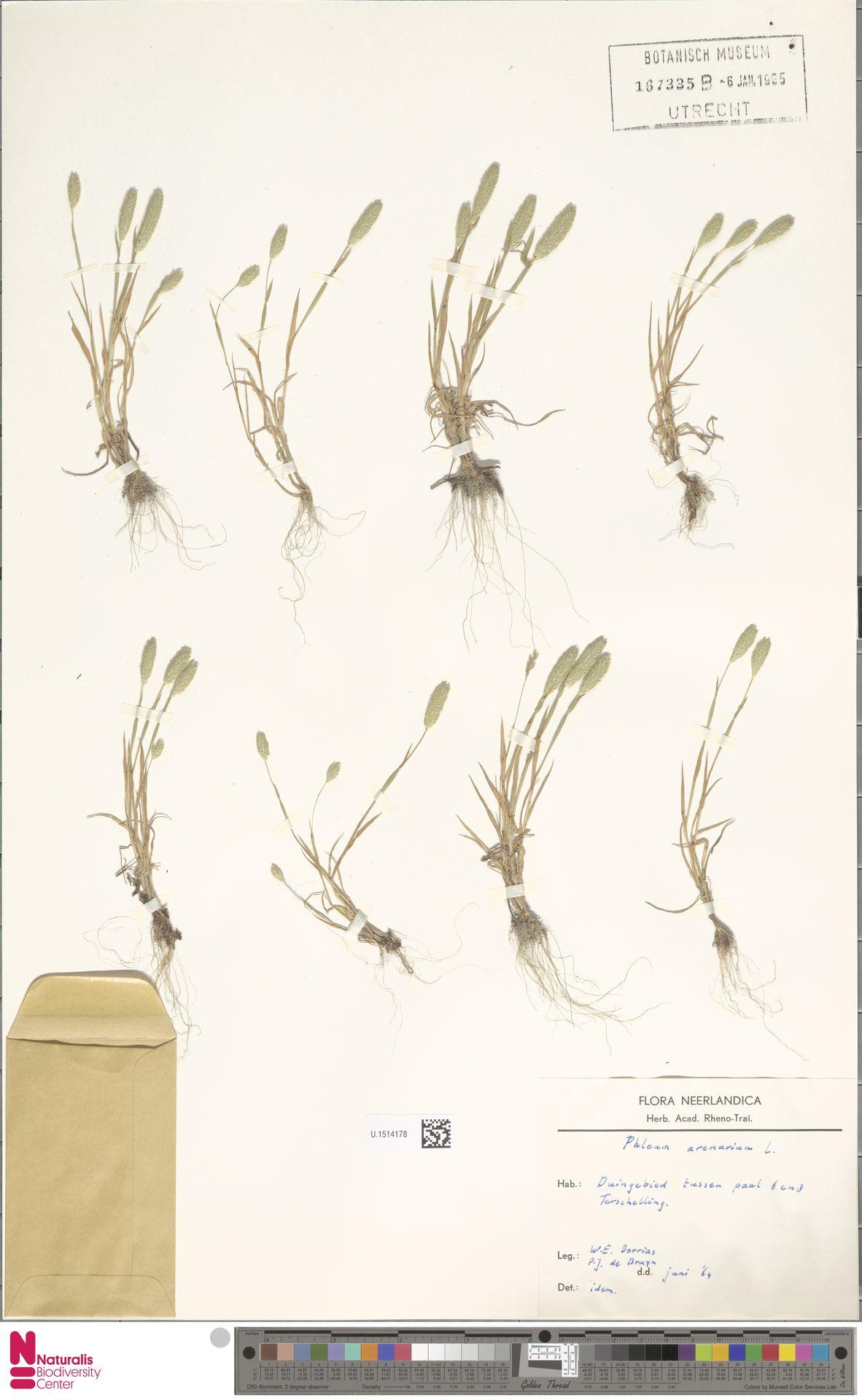 U.1514178 | Phleum arenarium L.