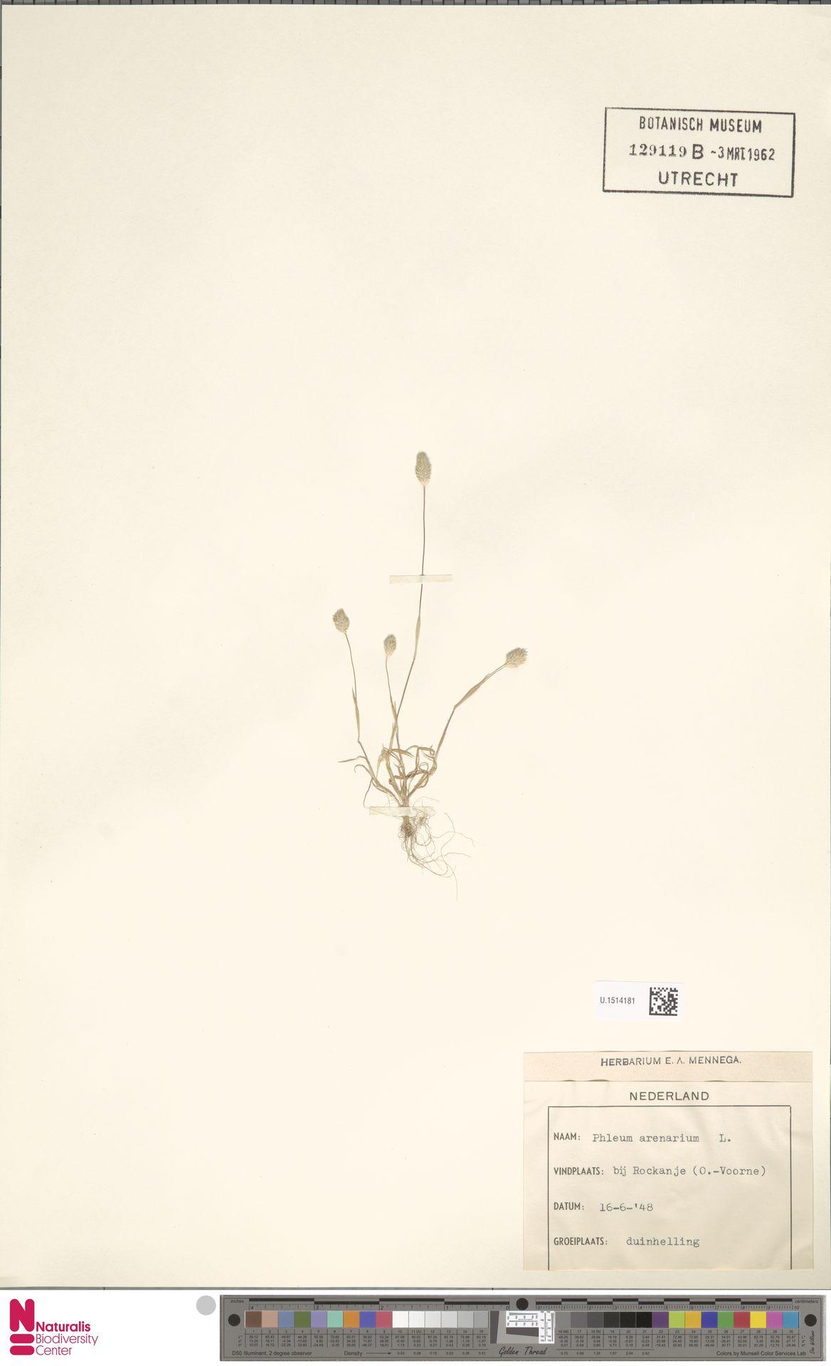 U.1514181 | Phleum arenarium L.