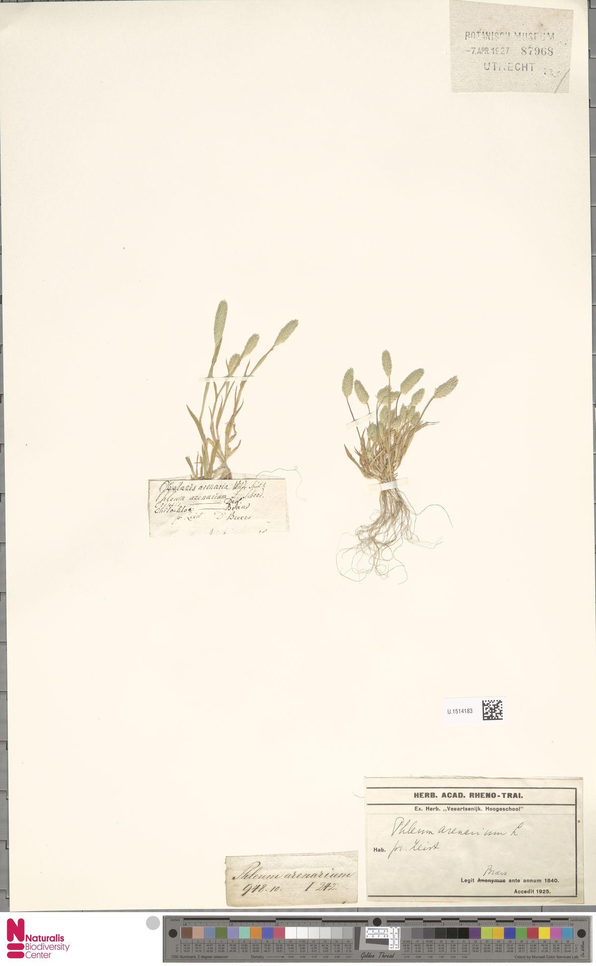U.1514183   Phleum arenarium L.