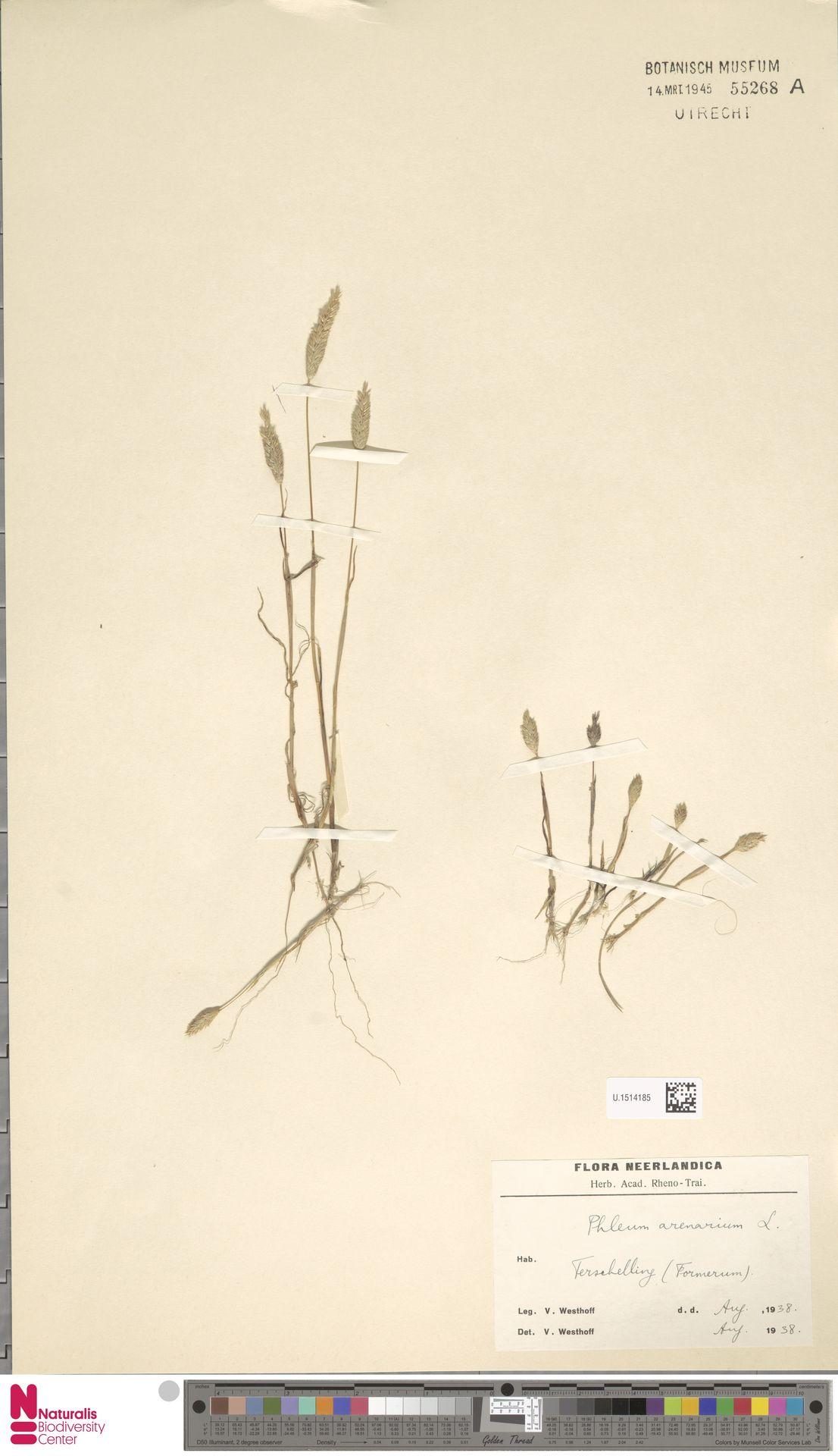 U.1514185 | Phleum arenarium L.
