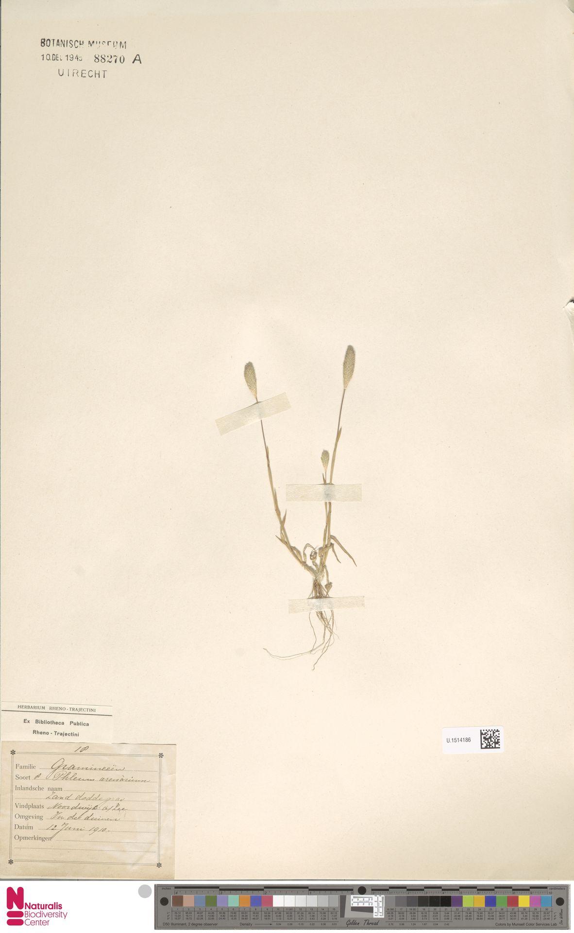 U.1514186 | Phleum arenarium L.