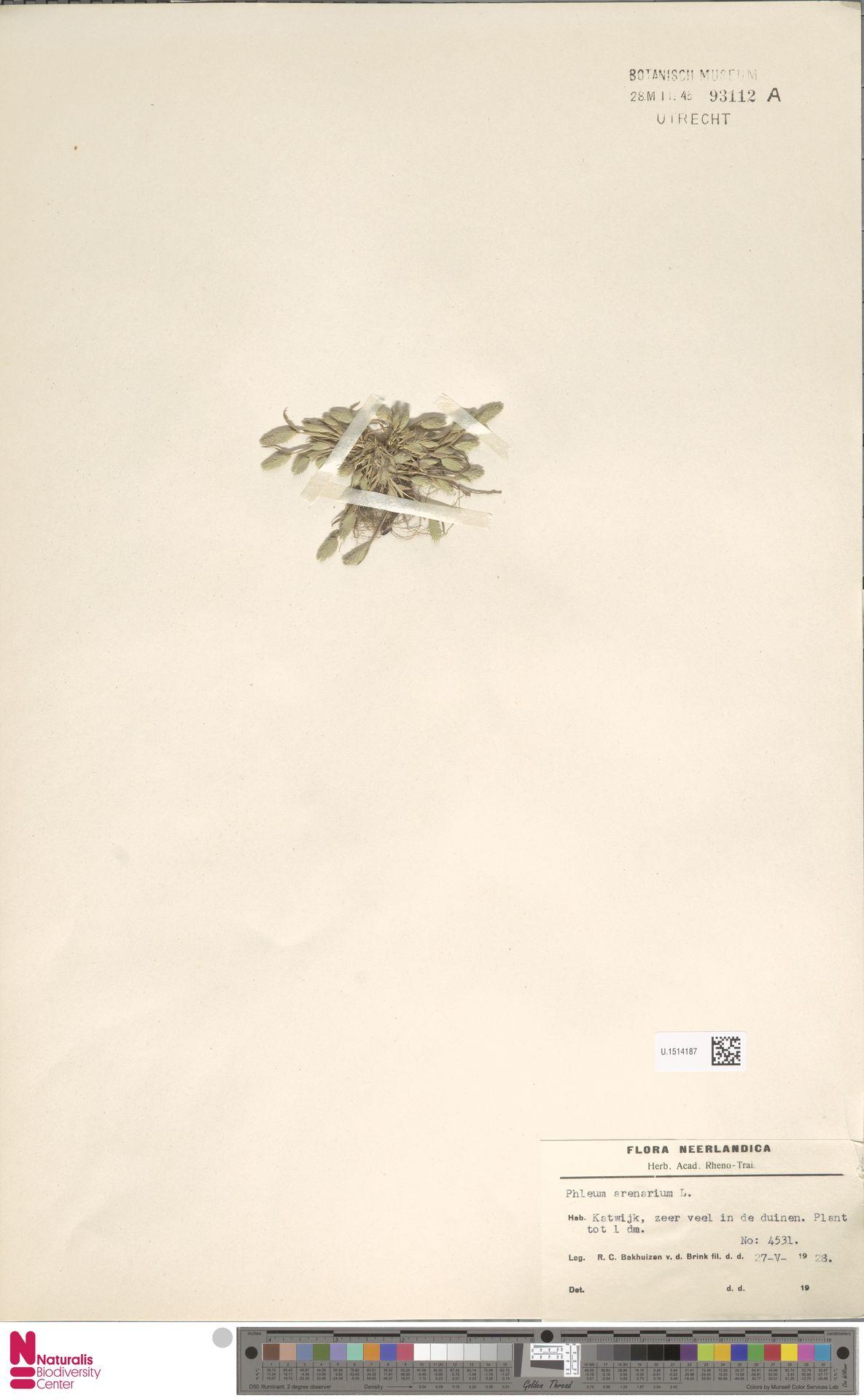 U.1514187 | Phleum arenarium L.
