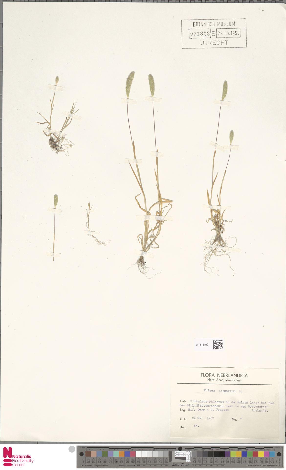 U.1514190 | Phleum arenarium L.