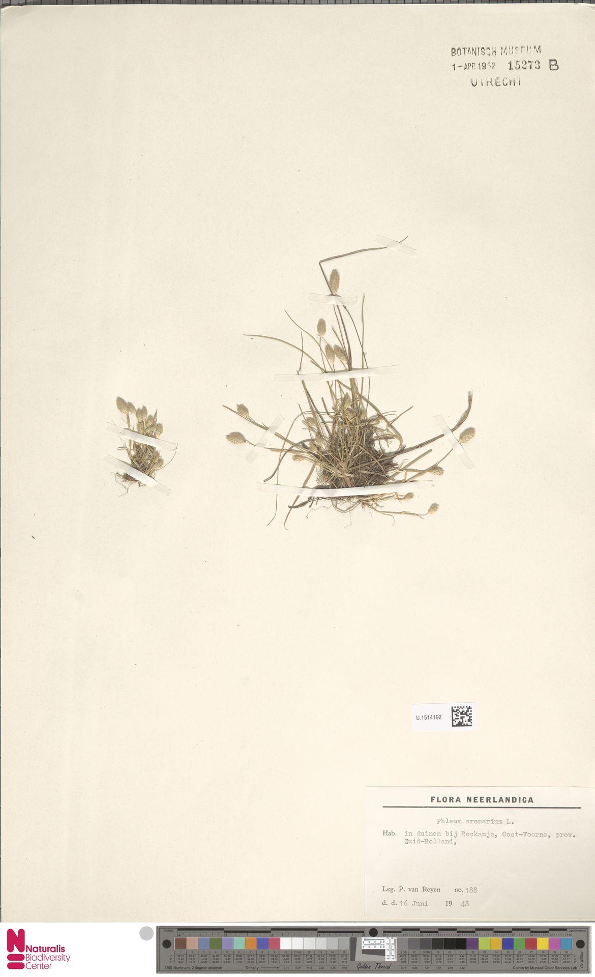 U.1514192   Phleum arenarium L.