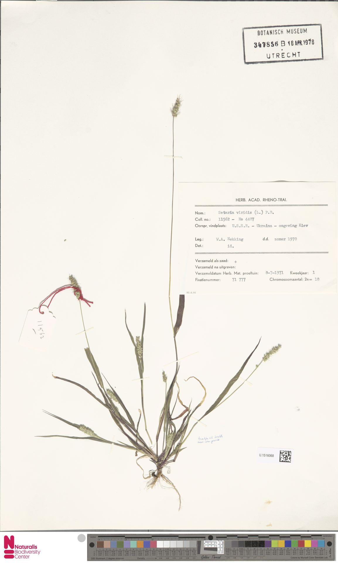 U.1516068 | Setaria viridis (L.) P.Beauv.