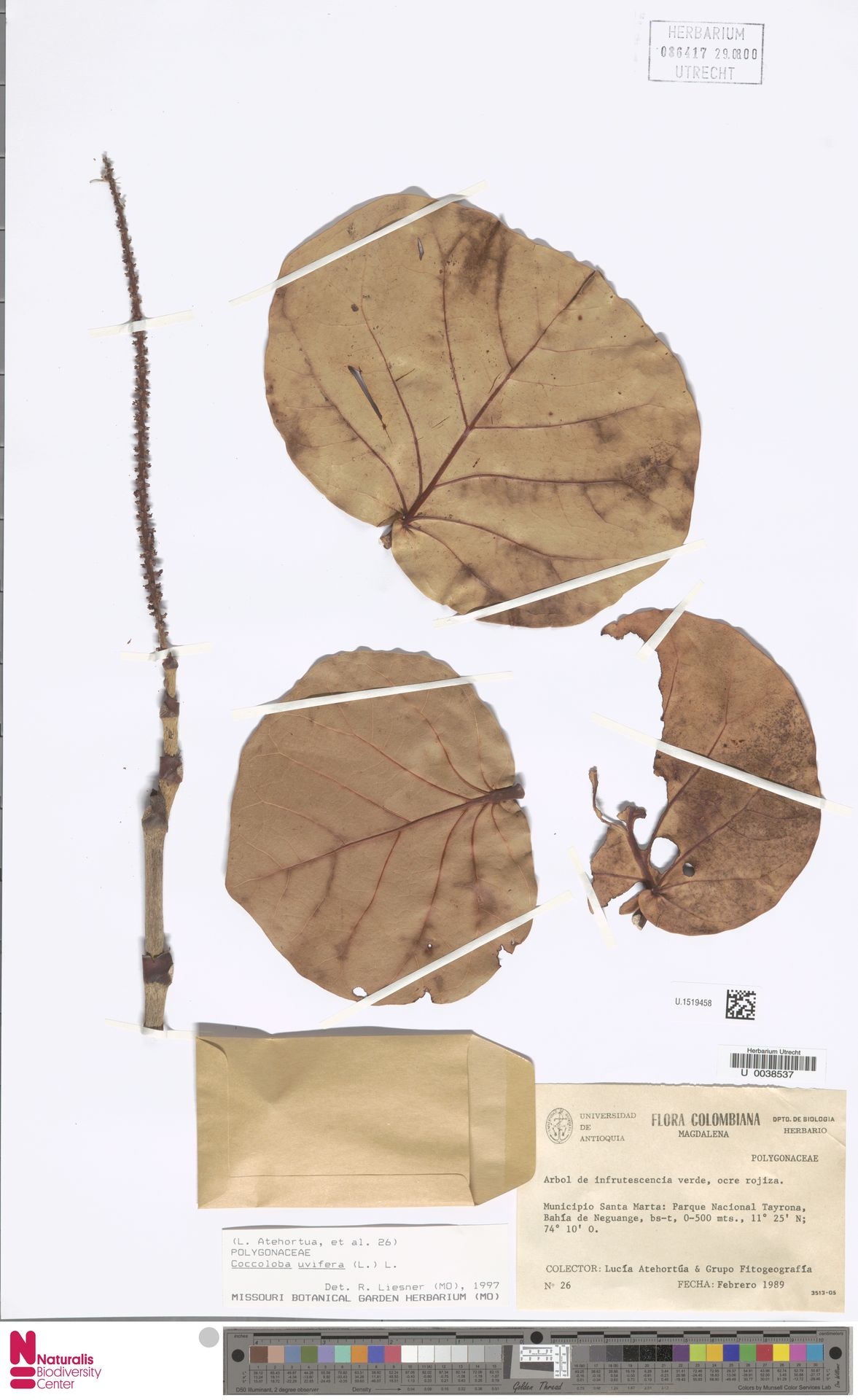 U.1519458 | Coccoloba uvifera (L.) L.