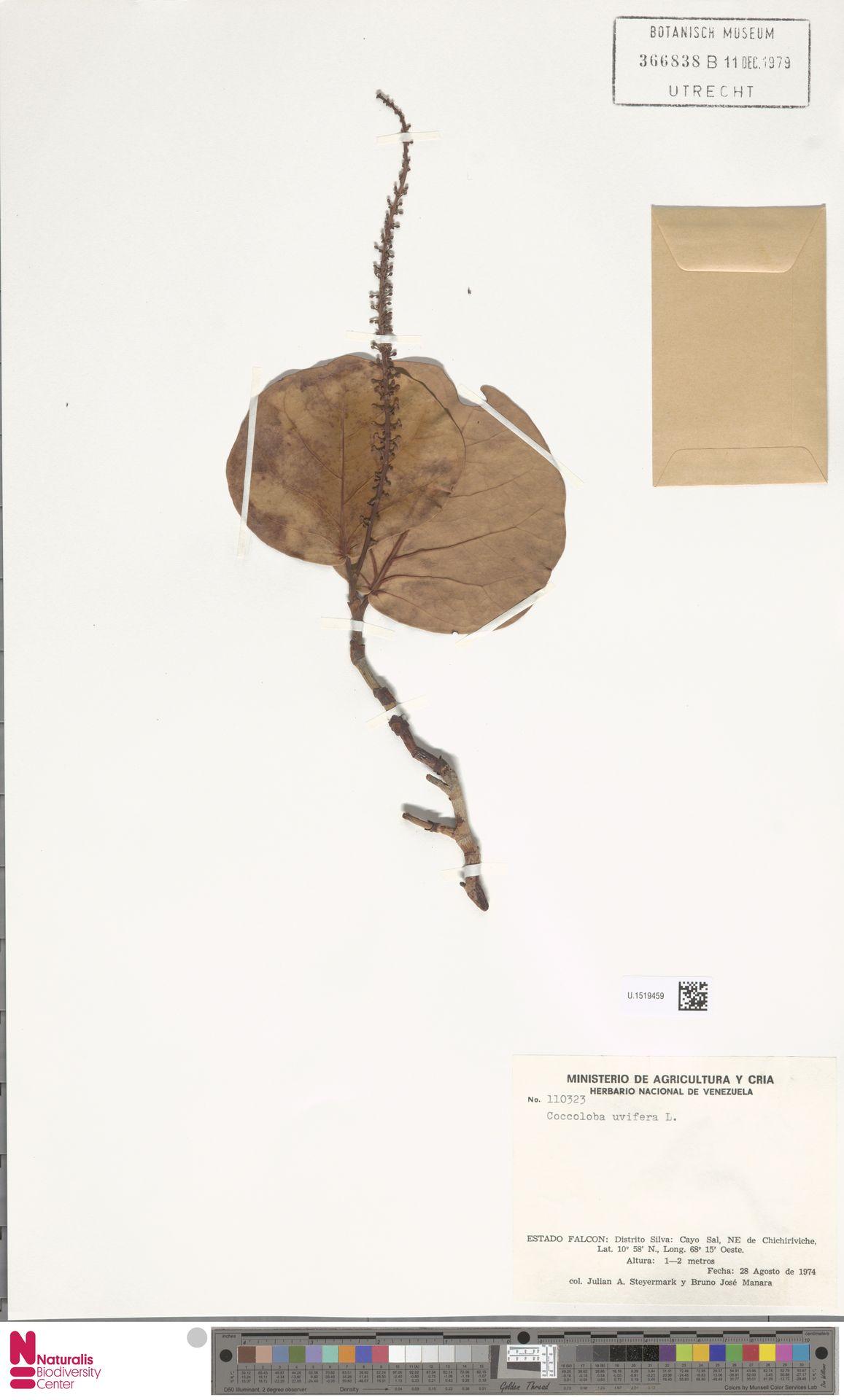 U.1519459   Coccoloba uvifera (L.) L.