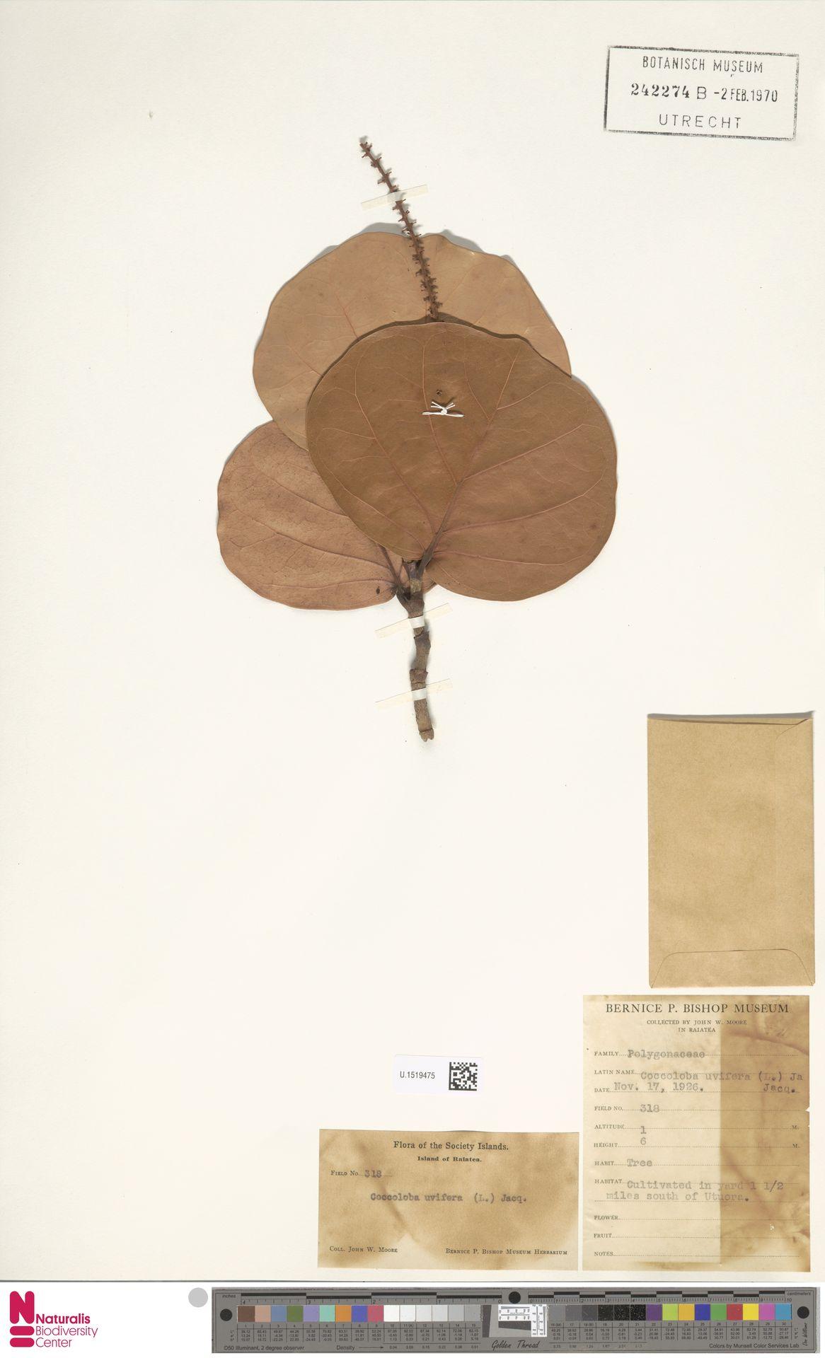 U.1519475 | Coccoloba uvifera (L.) L.
