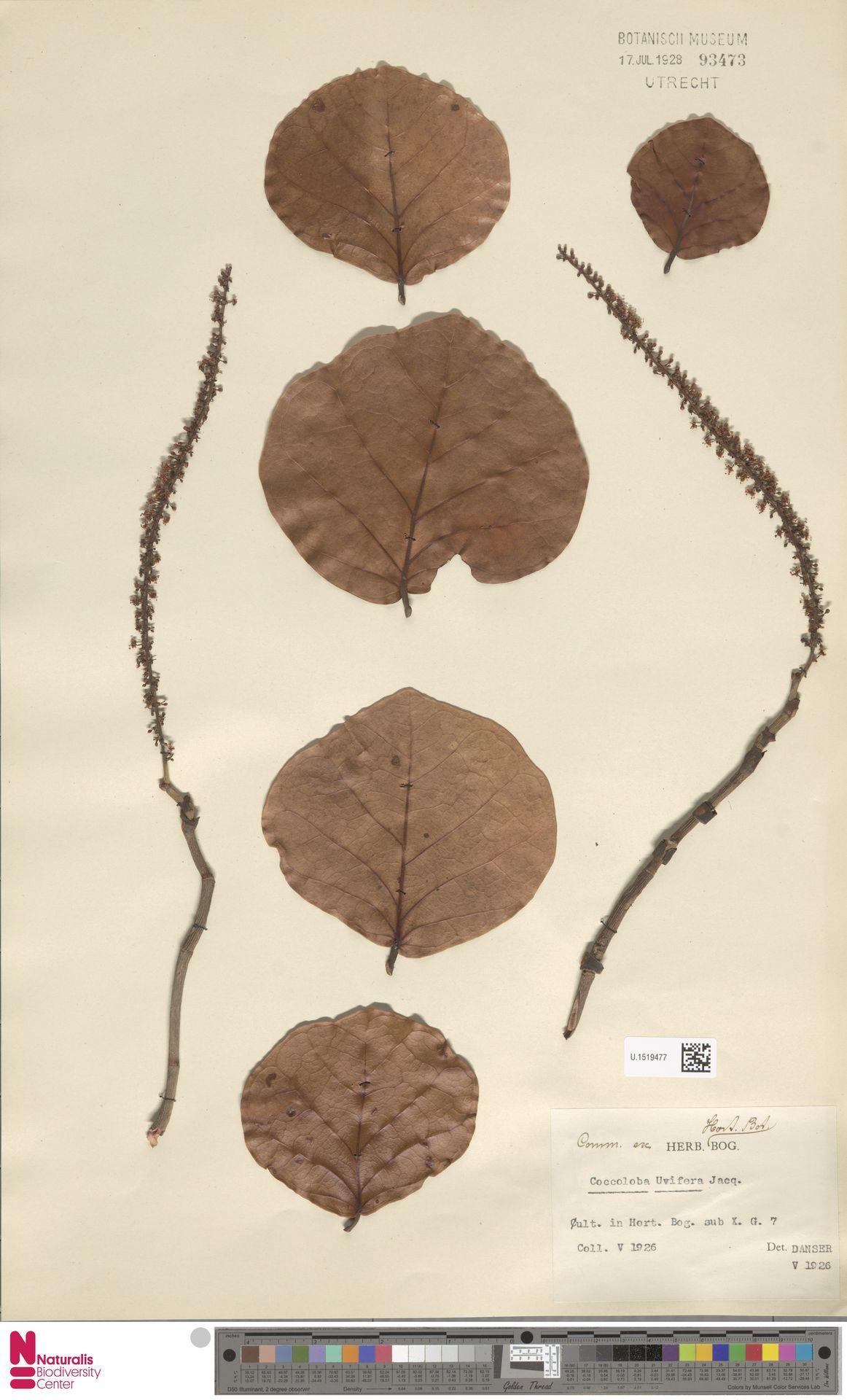 U.1519477 | Coccoloba uvifera (L.) L.