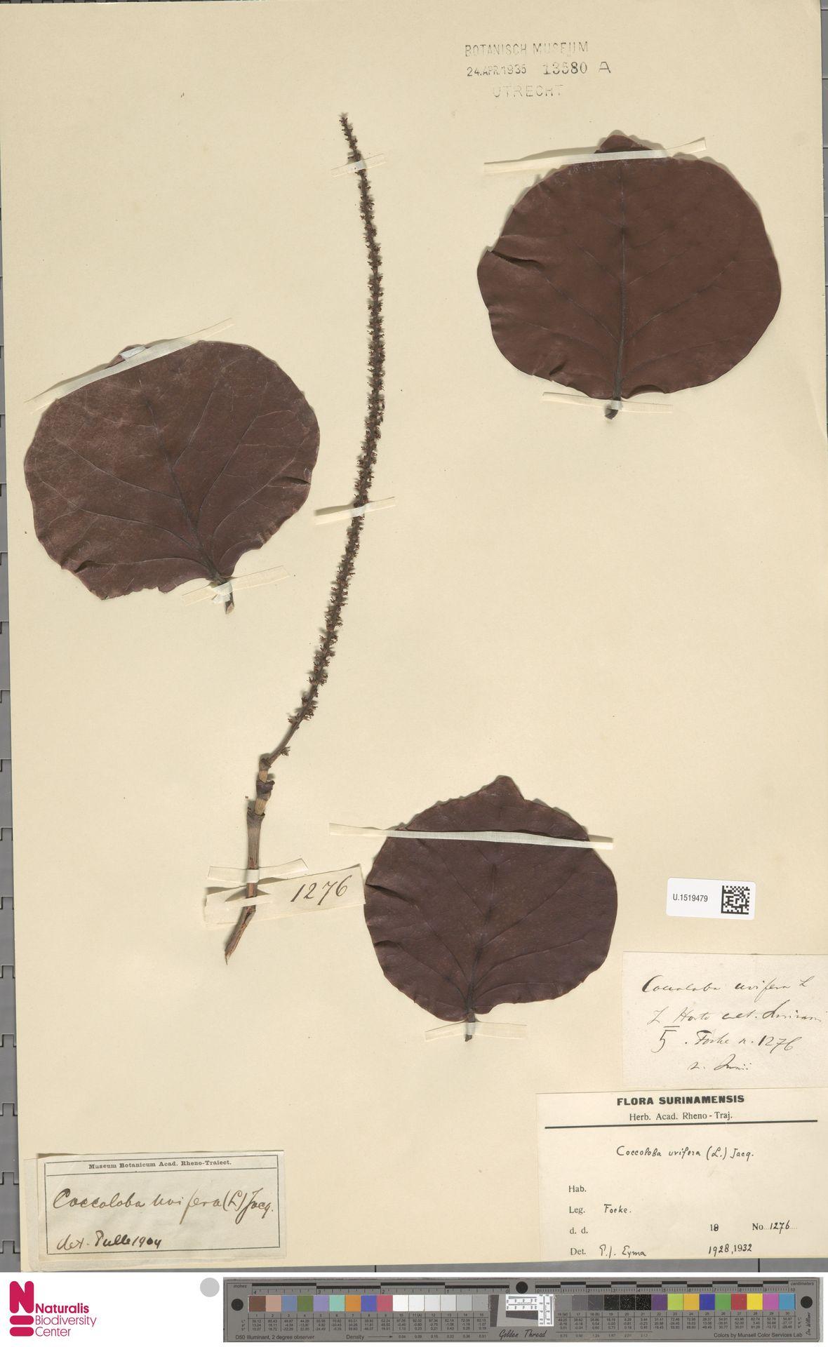 U.1519479 | Coccoloba uvifera (L.) L.