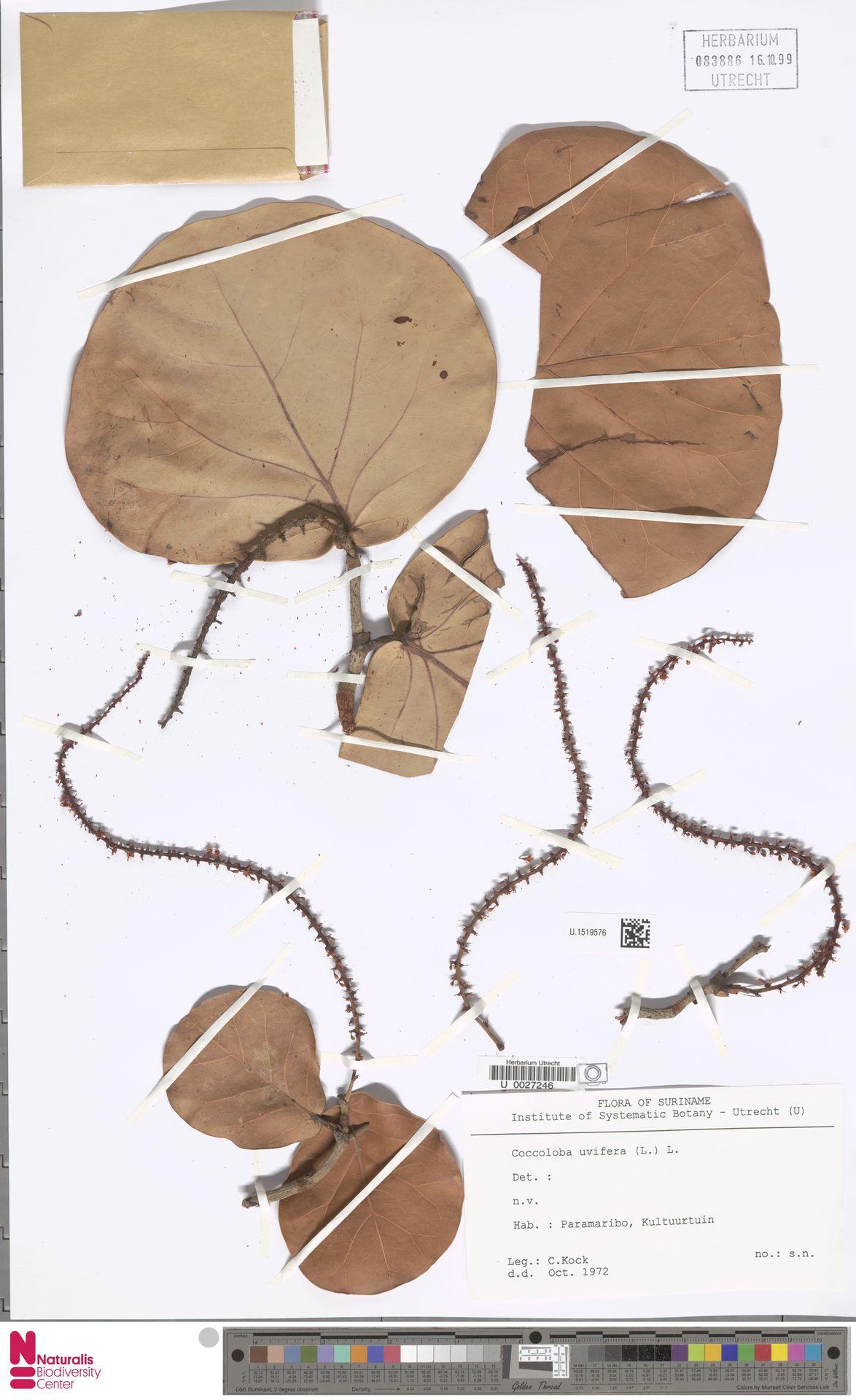 U.1519576 | Coccoloba uvifera (L.) L.