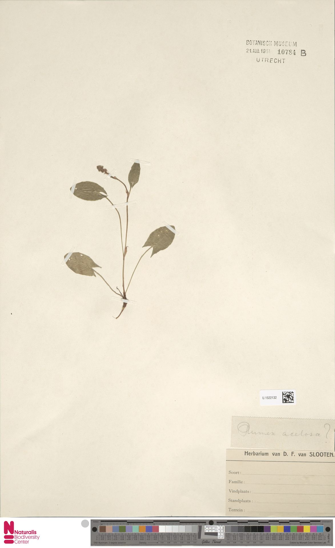 U.1522132 | Rumex acetosa L.